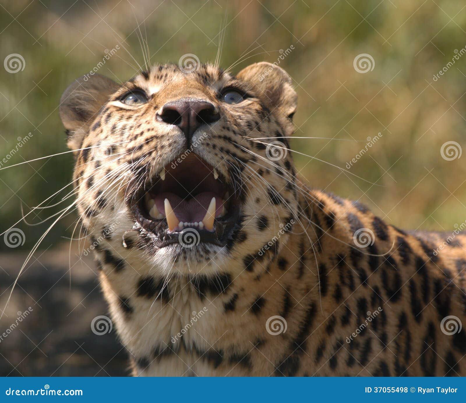 Leopard Growl: Amur Leopard Growling Stock Photo. Image Of Leopard, Teeth