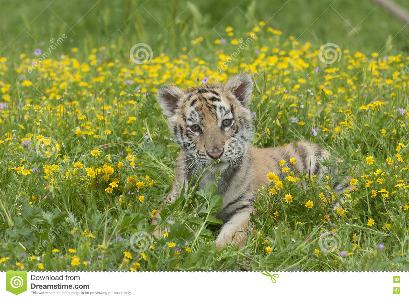 Amur Siberian Tiger Kitten Laying In Yellow And Green Flowers