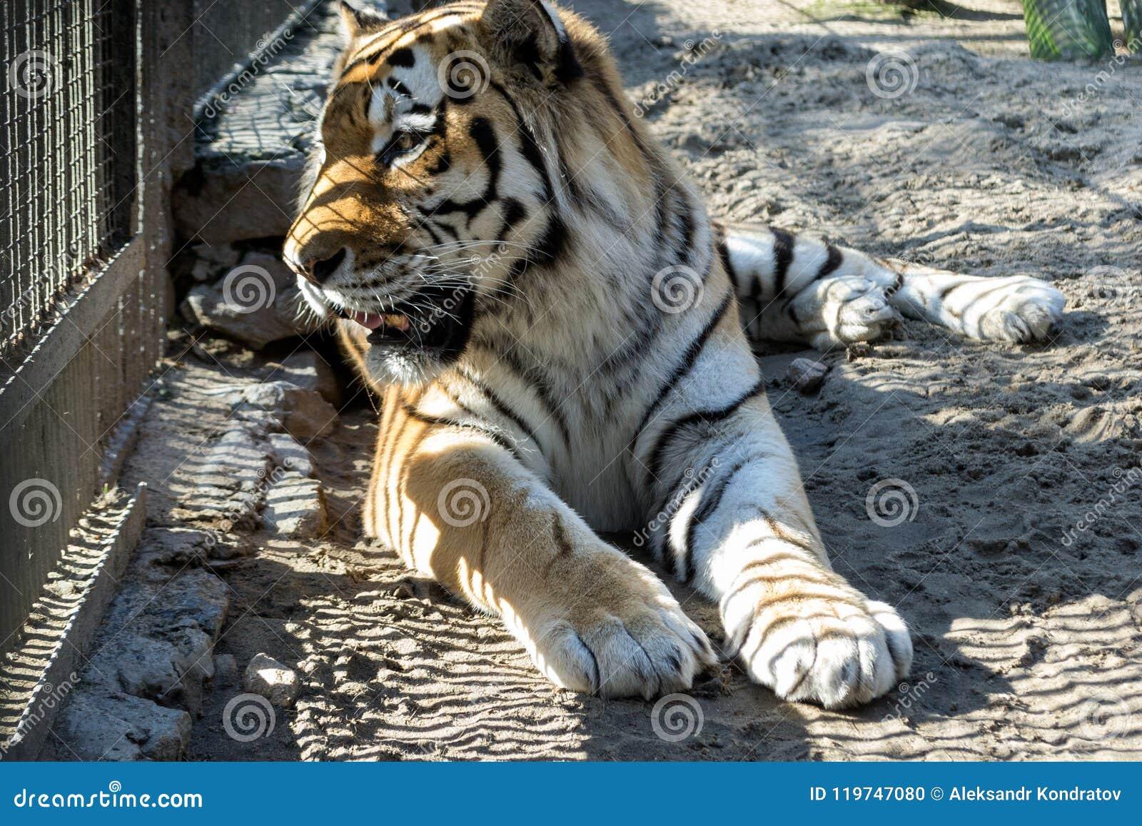 Amur tiger med orange och vit ull