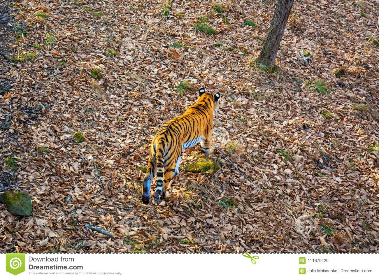 The Amur tiger is walking through the forest, taiga, autumn.