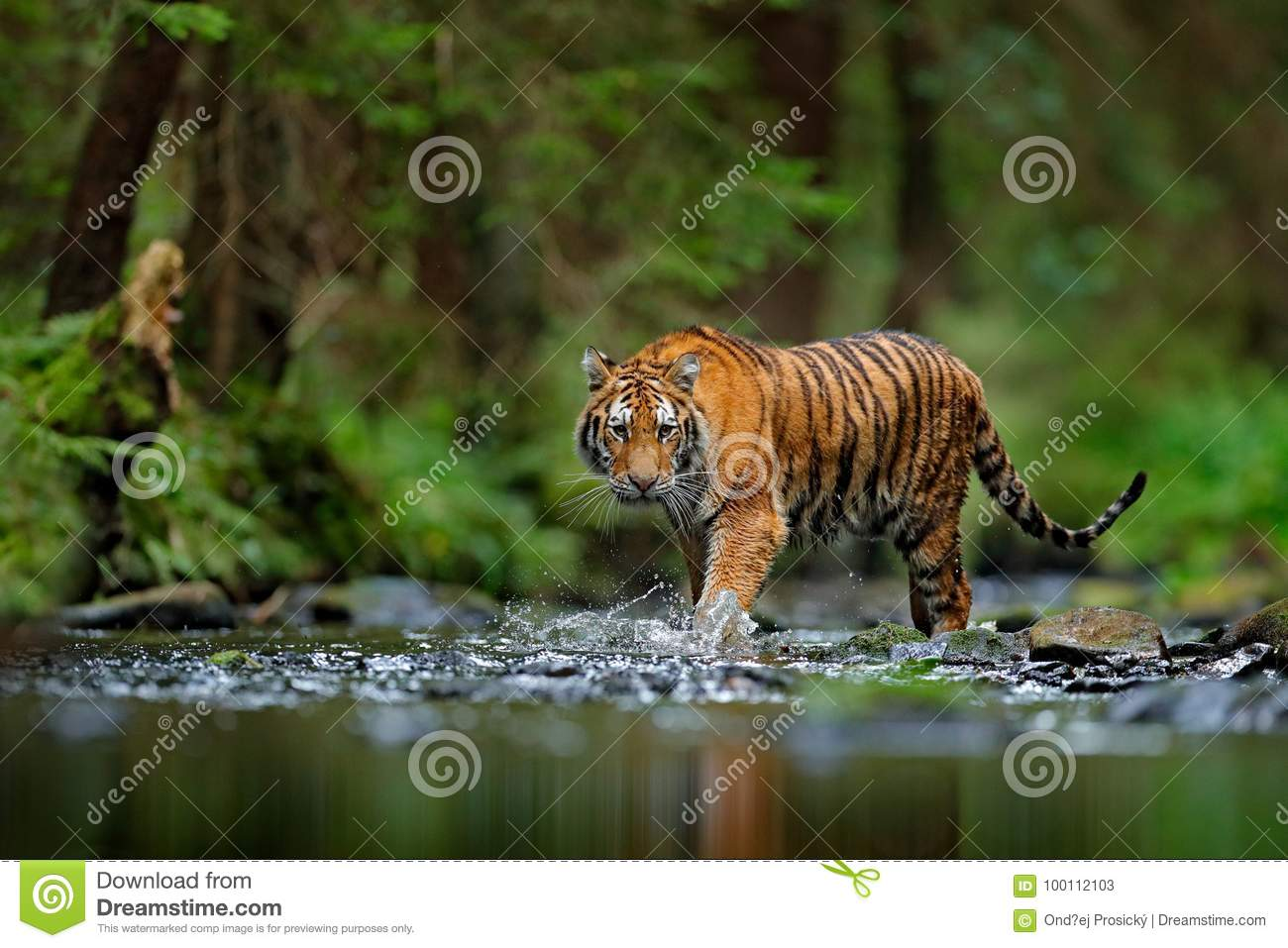 Amur tiger walking in river water. Danger animal, tajga, Russia. Animal in green forest stream. Grey stone, river droplet. Siberia