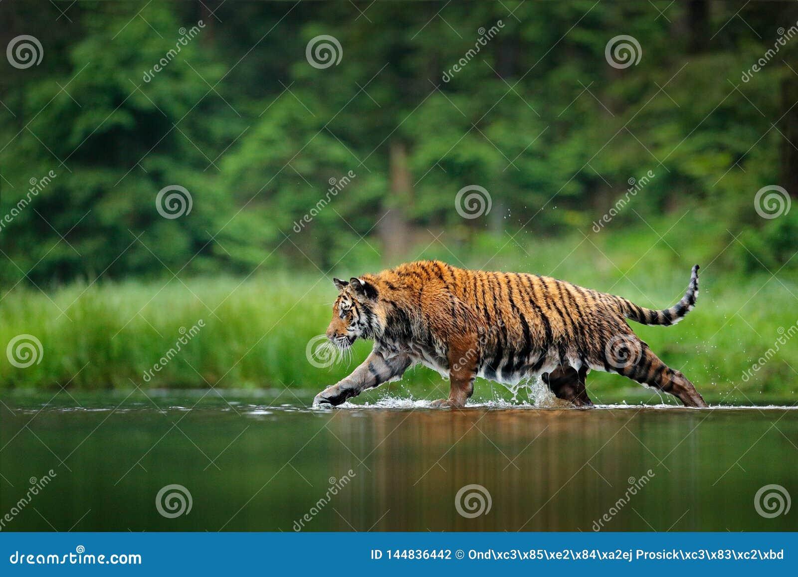 Amurtijger die in het water lopen Gevaarlijk dier, tajga, Rusland Dier in groene bosstroom Grey Stone, rivierdruppeltje