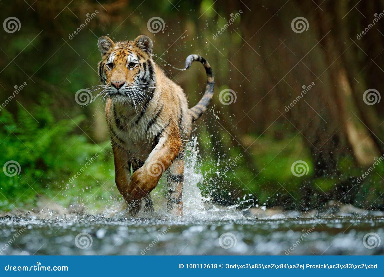 Amurtijger die in water lopen Gevaarsdier, tajga, Rusland Dier in bosstroom Grey Stone, rivierdruppeltje Siberische tijgerspla