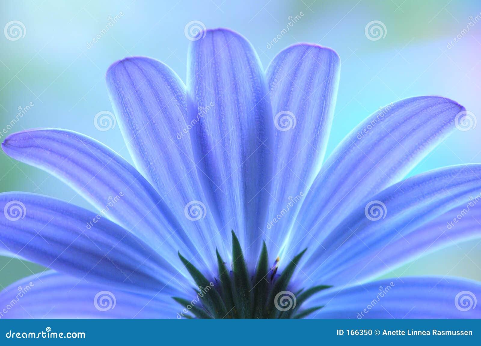 Anémona azul