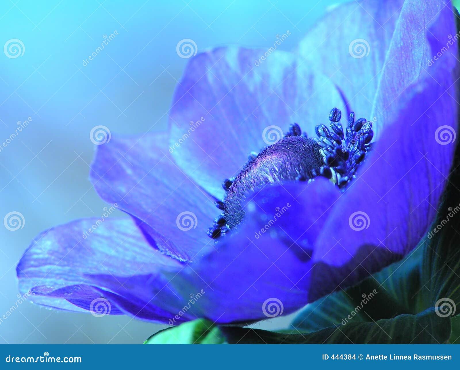 Anémona francesa azul
