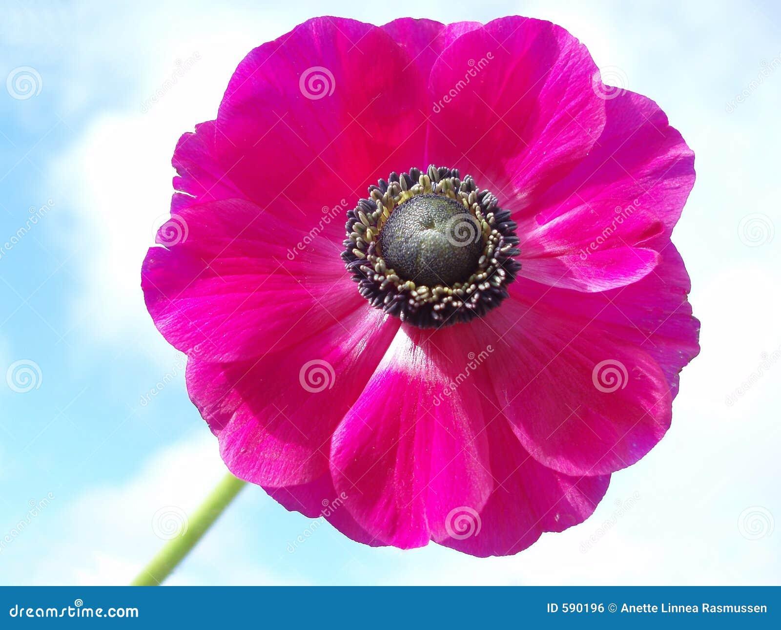 Anémona francesa rosada