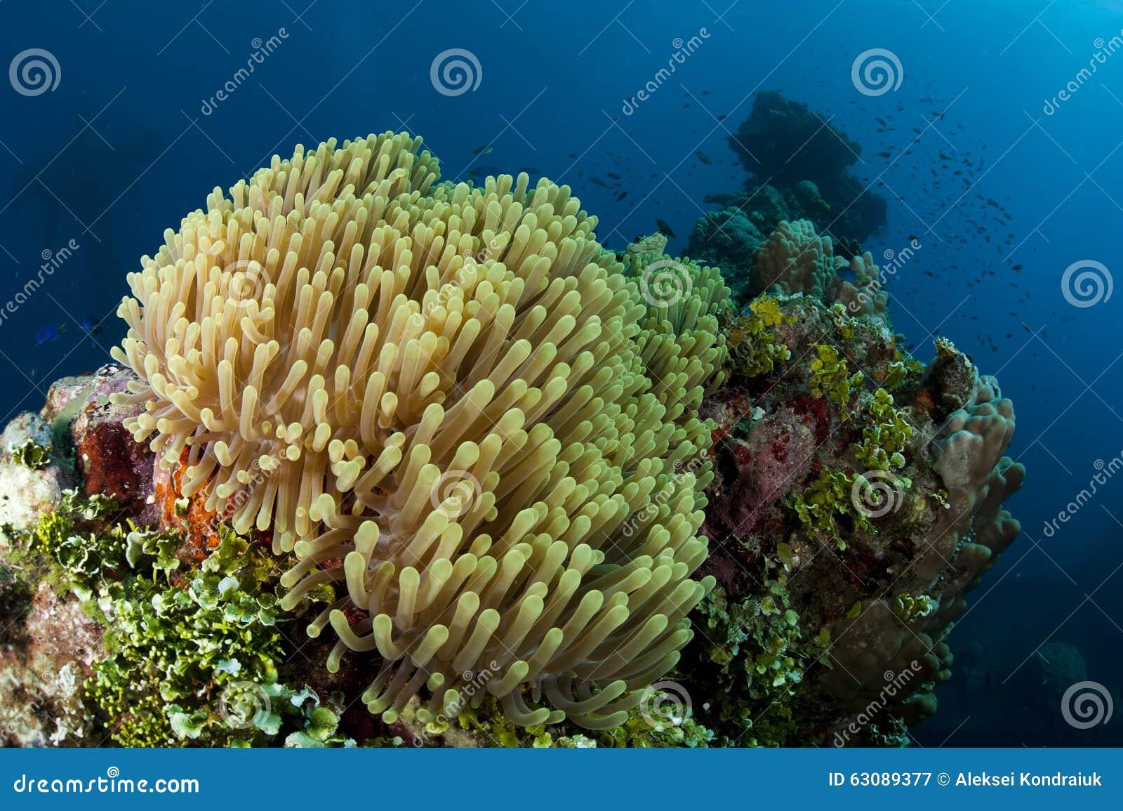 Download Anémone colorée image stock. Image du poissons, coloré - 63089377