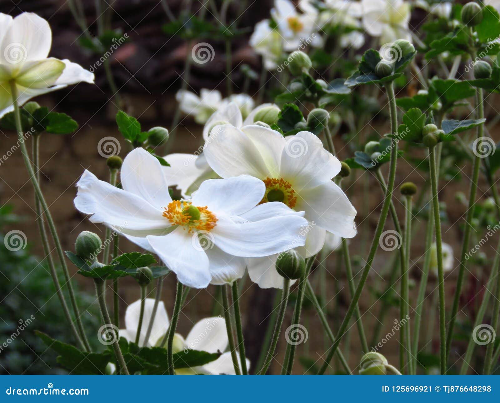 Anemone En Bois Floraison D Anemone Nemorosa Fleurs Blanches De