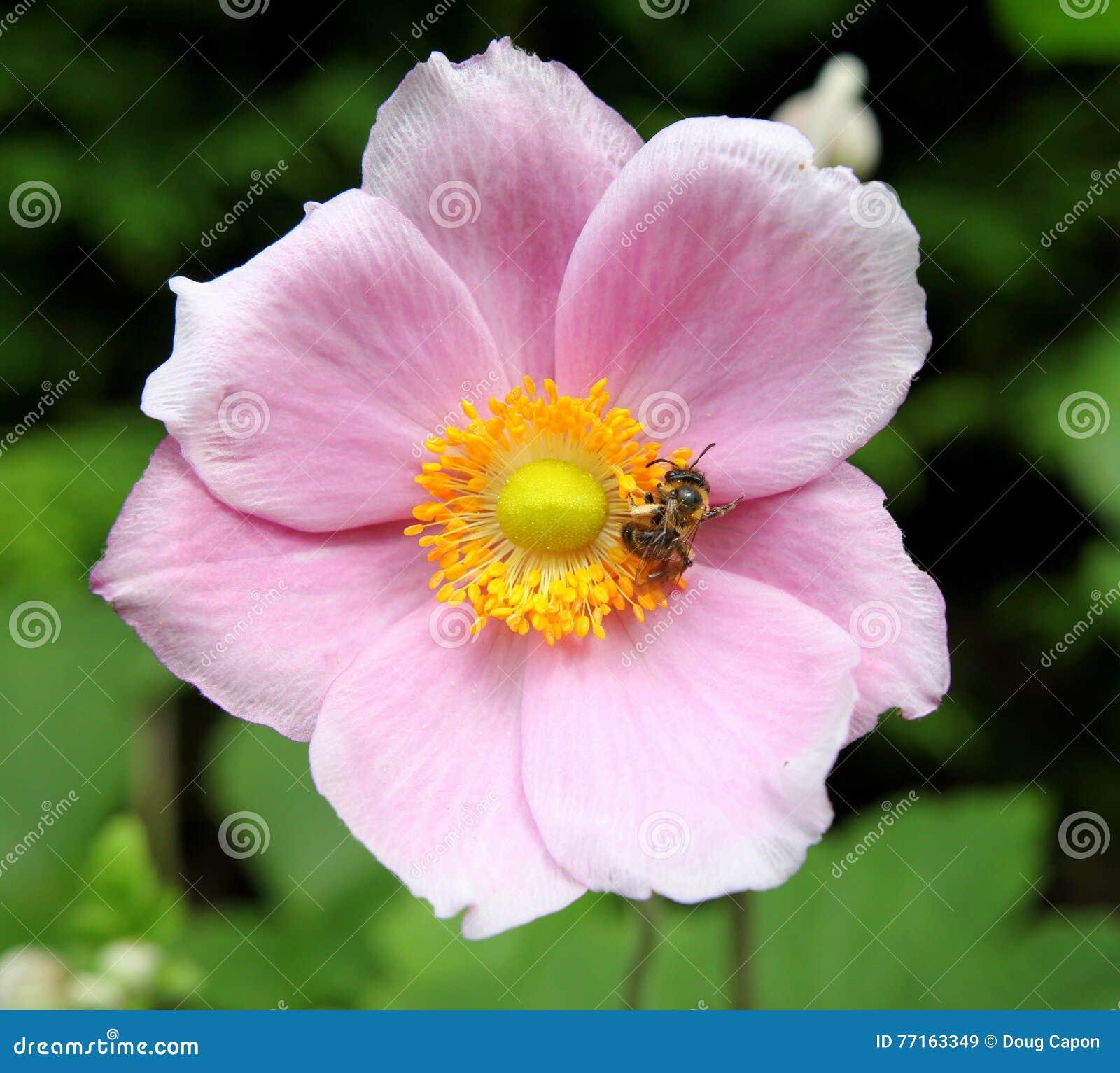 Anémone et abeille japonaises roses