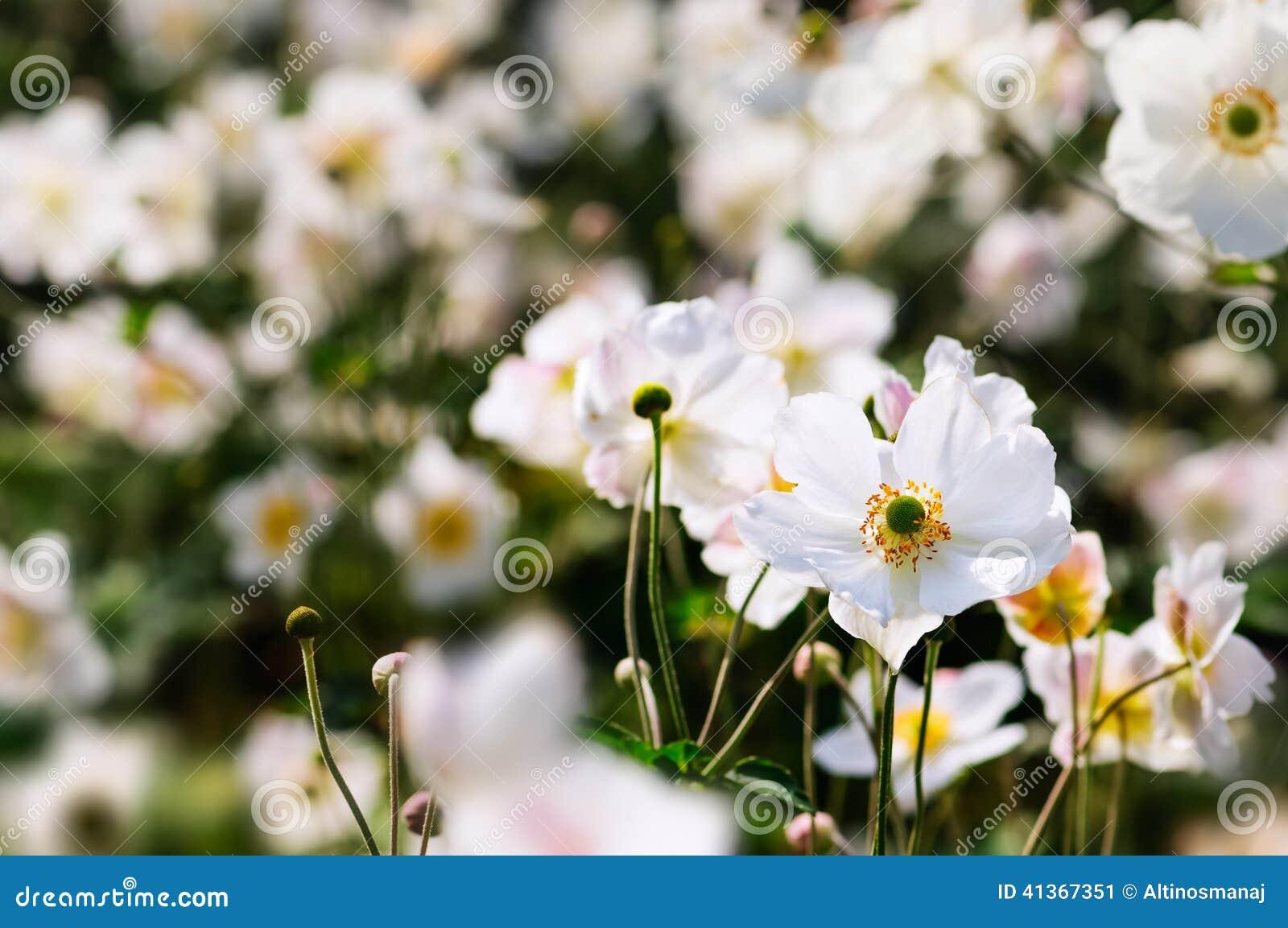 Libre de droits. Download Anémones Japonaises , Fleurs Blanches D\u0027automne