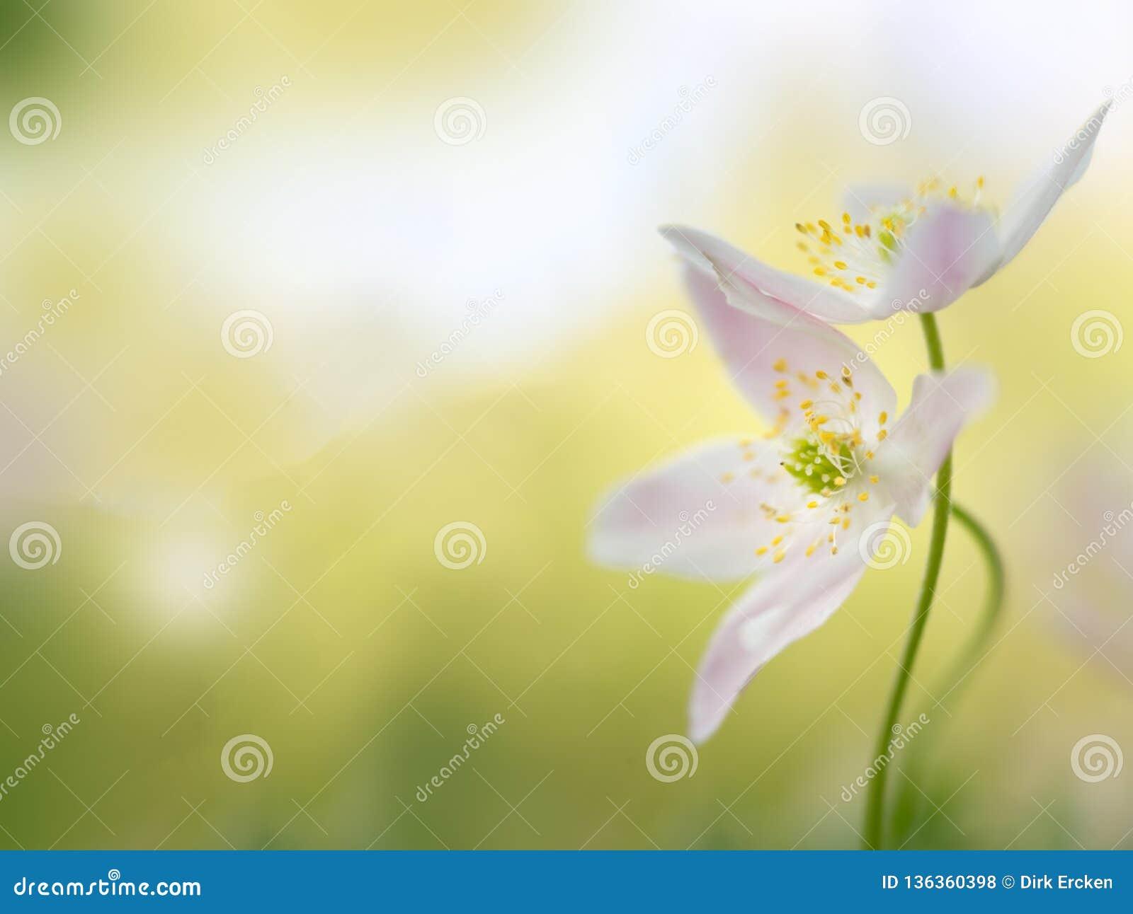 Anêmona de madeira - macro de um par adiantado da flor da mola