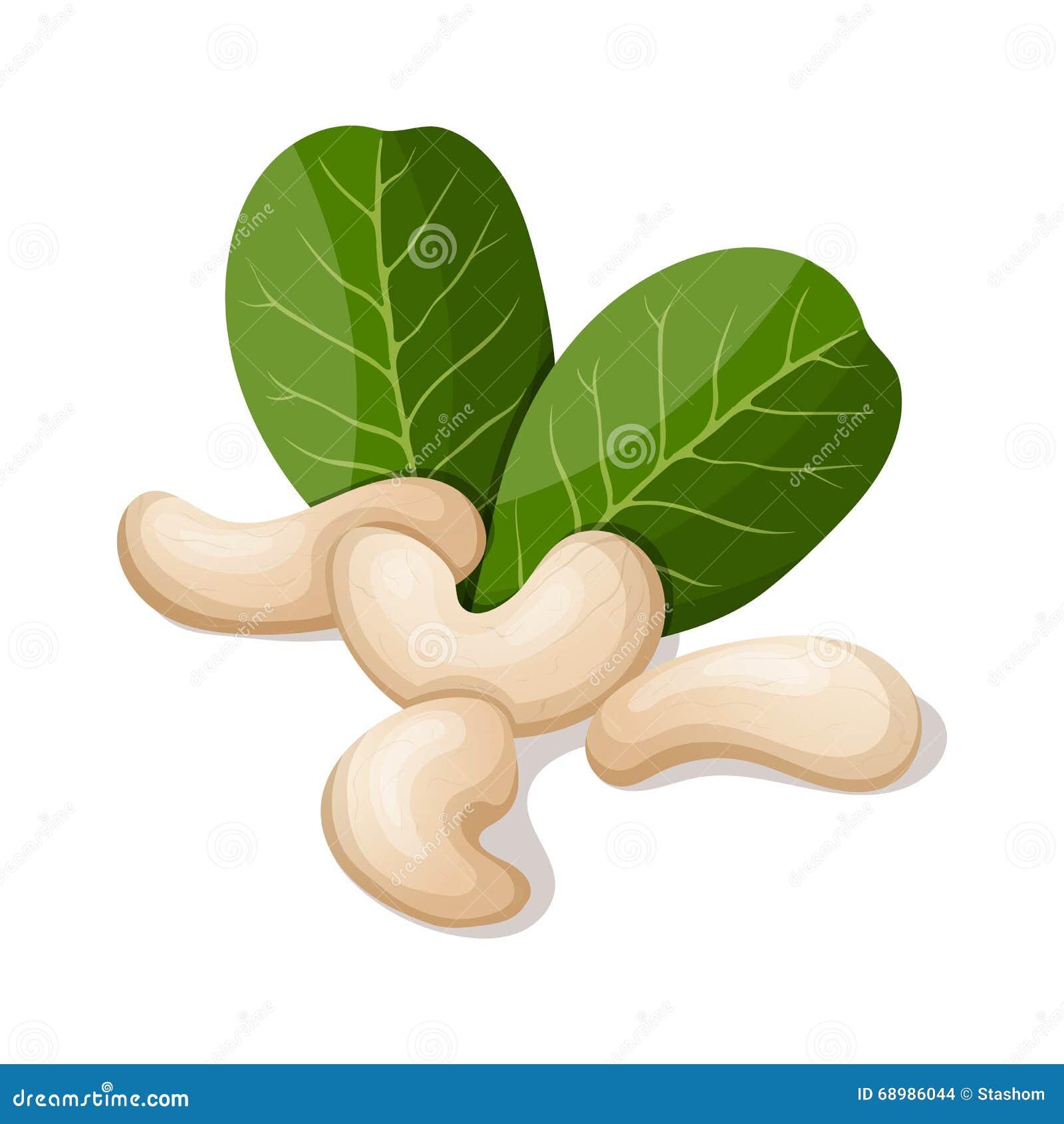 Anacardos con las hojas en blanco