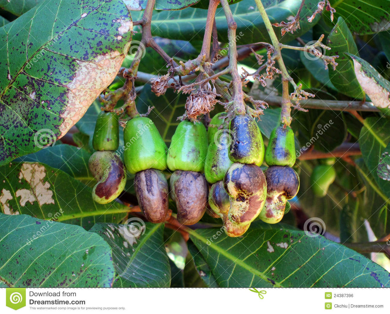 anacardos en rbol foto de archivo imagen de gordo hojas