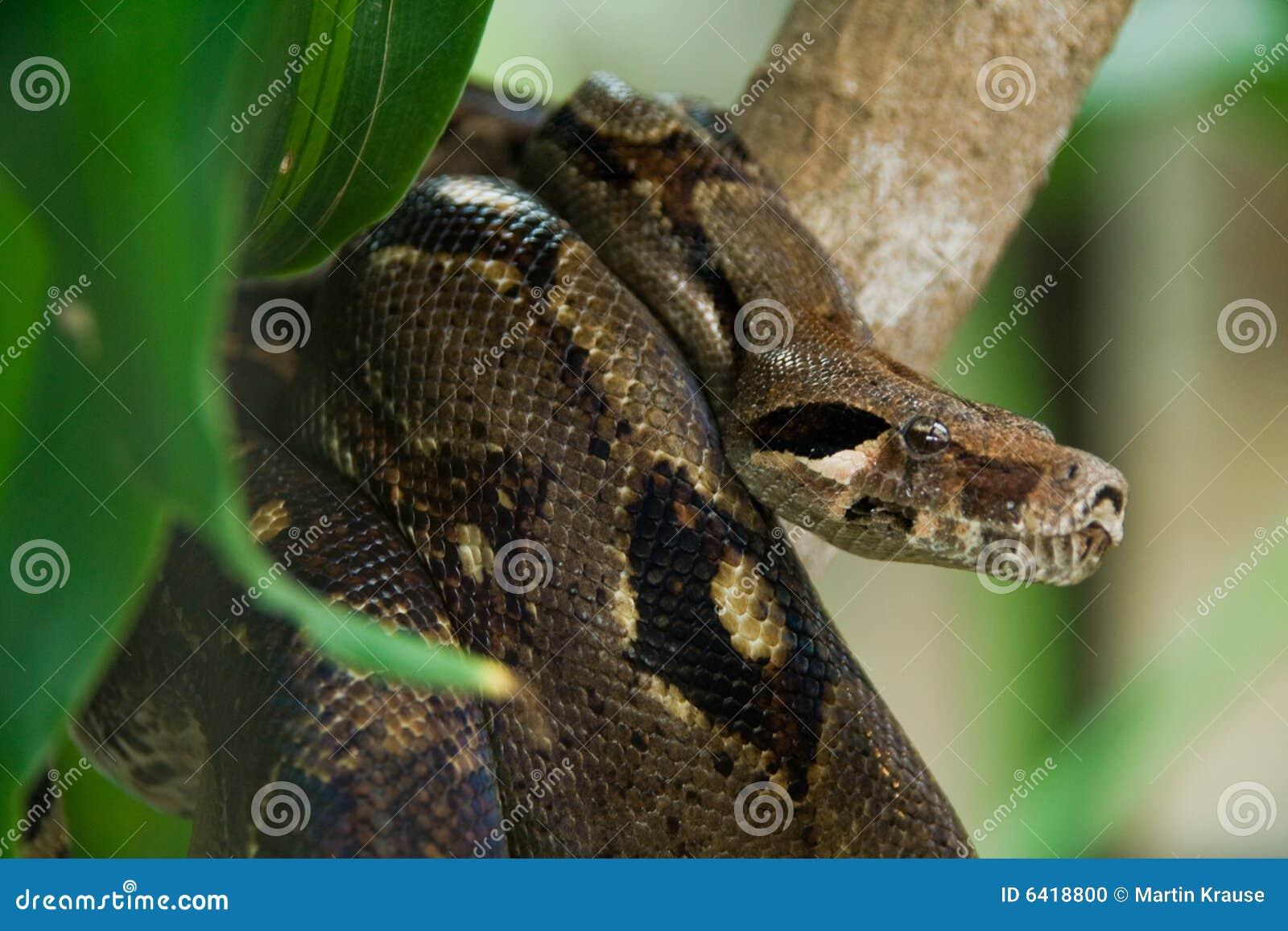 Anaconda de la caza