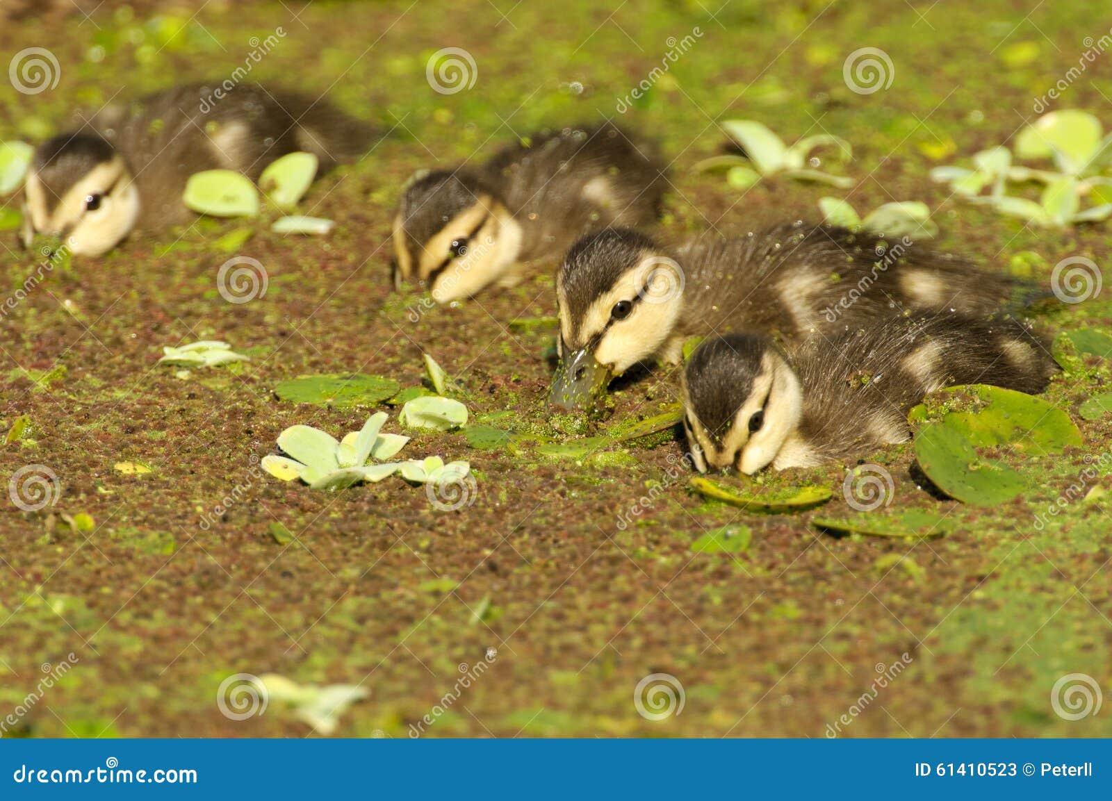 Anadones abigarrados del pato
