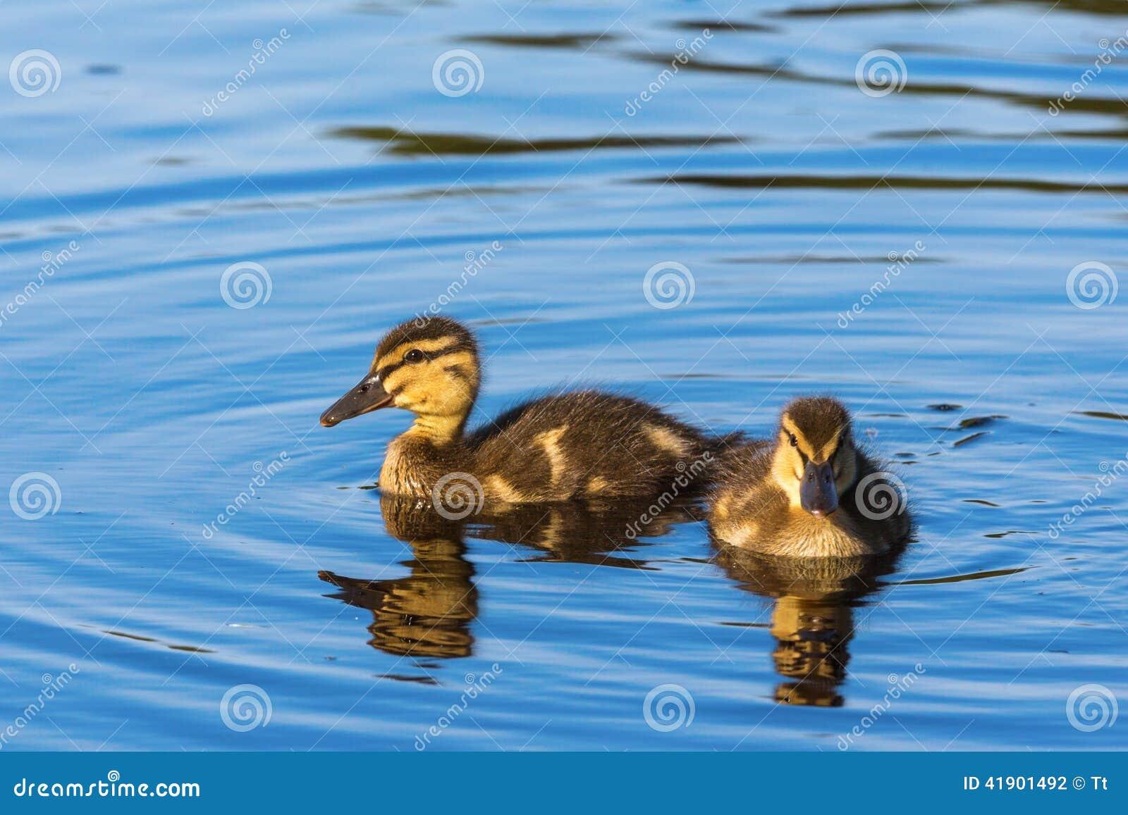 Anadones recién nacidos del pato silvestre