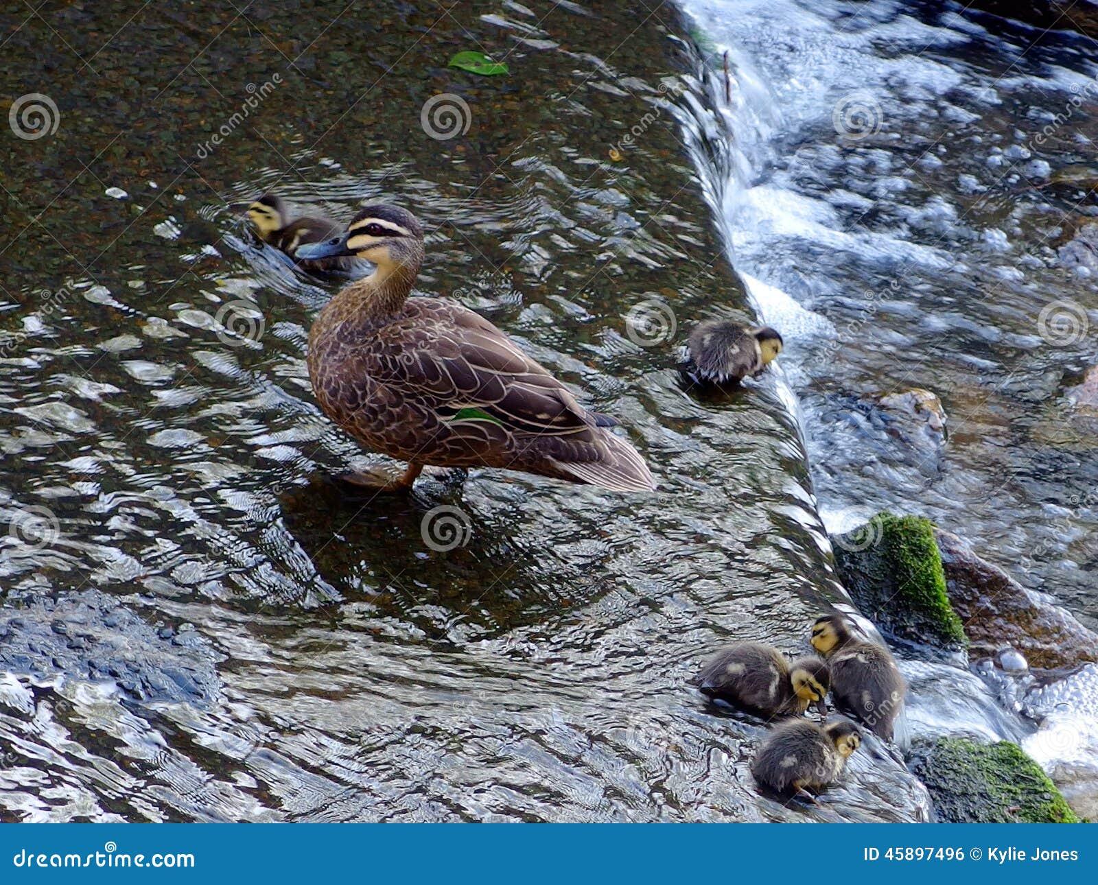 Anadones y pato de la madre