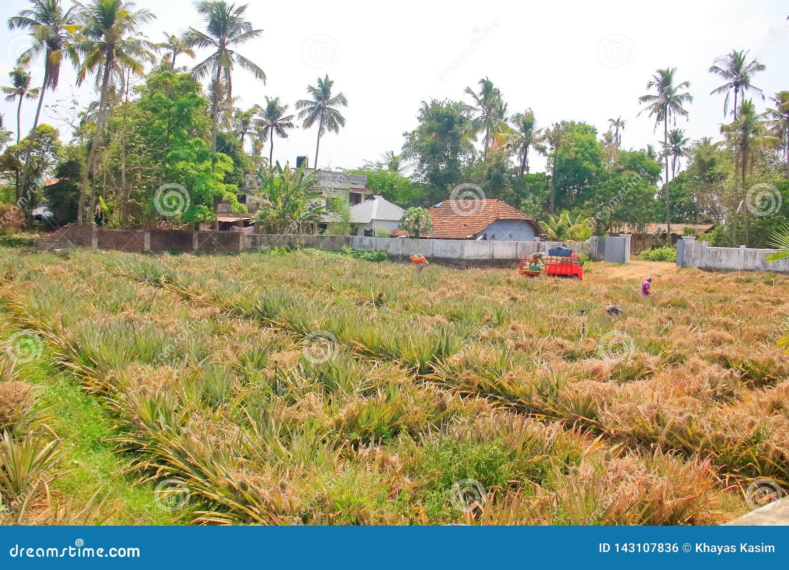 Ananas che coltiva nel Kerala India