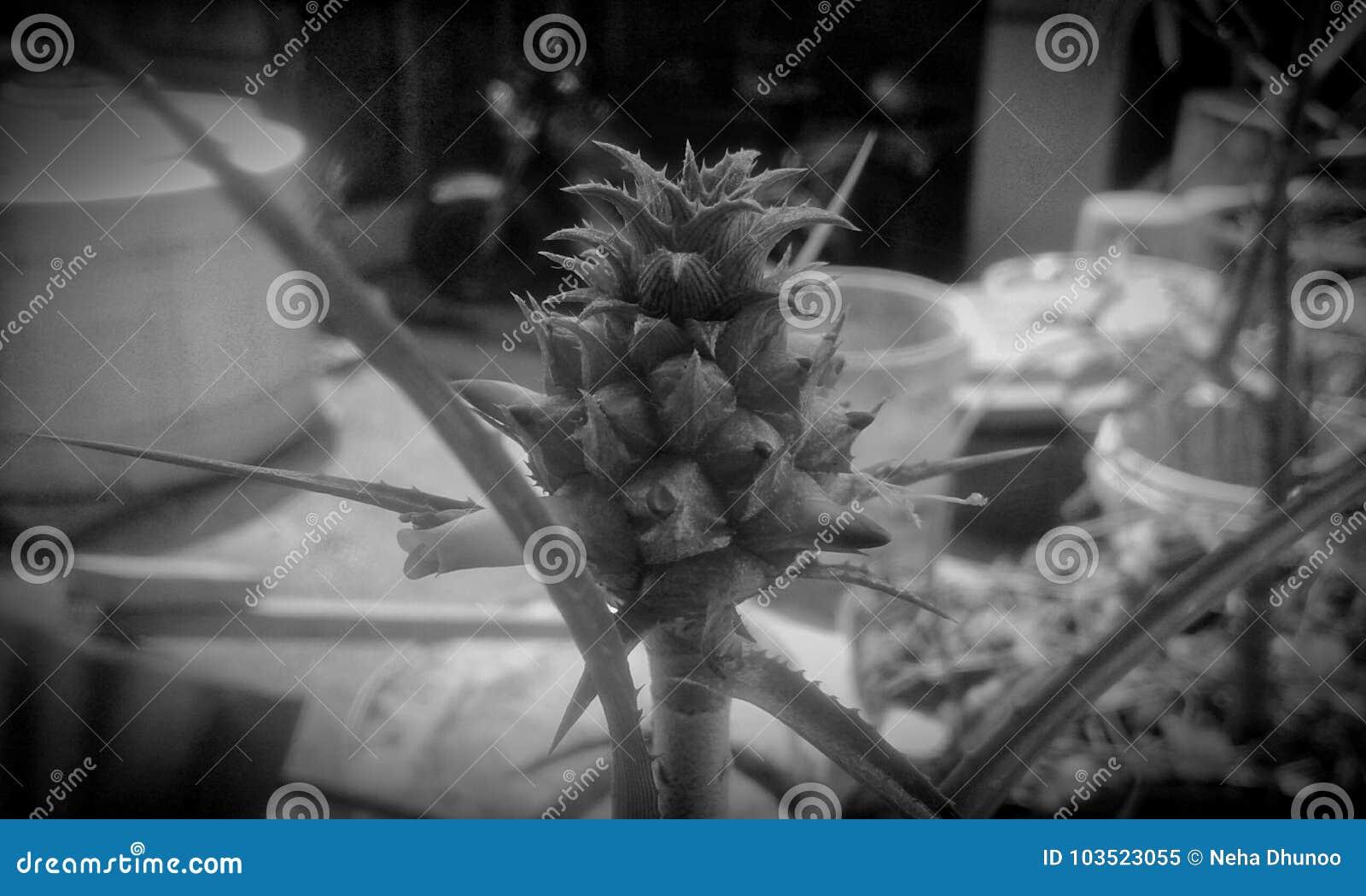 Ananas decorativo & x28; Mauritius& x29;