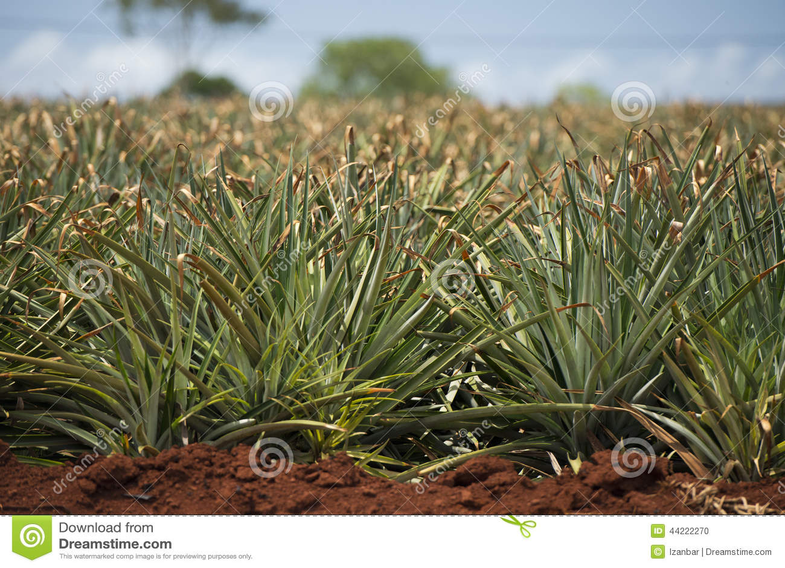 ananasplantage in hawaii stockfoto bild von himmel hawaii 44222270. Black Bedroom Furniture Sets. Home Design Ideas