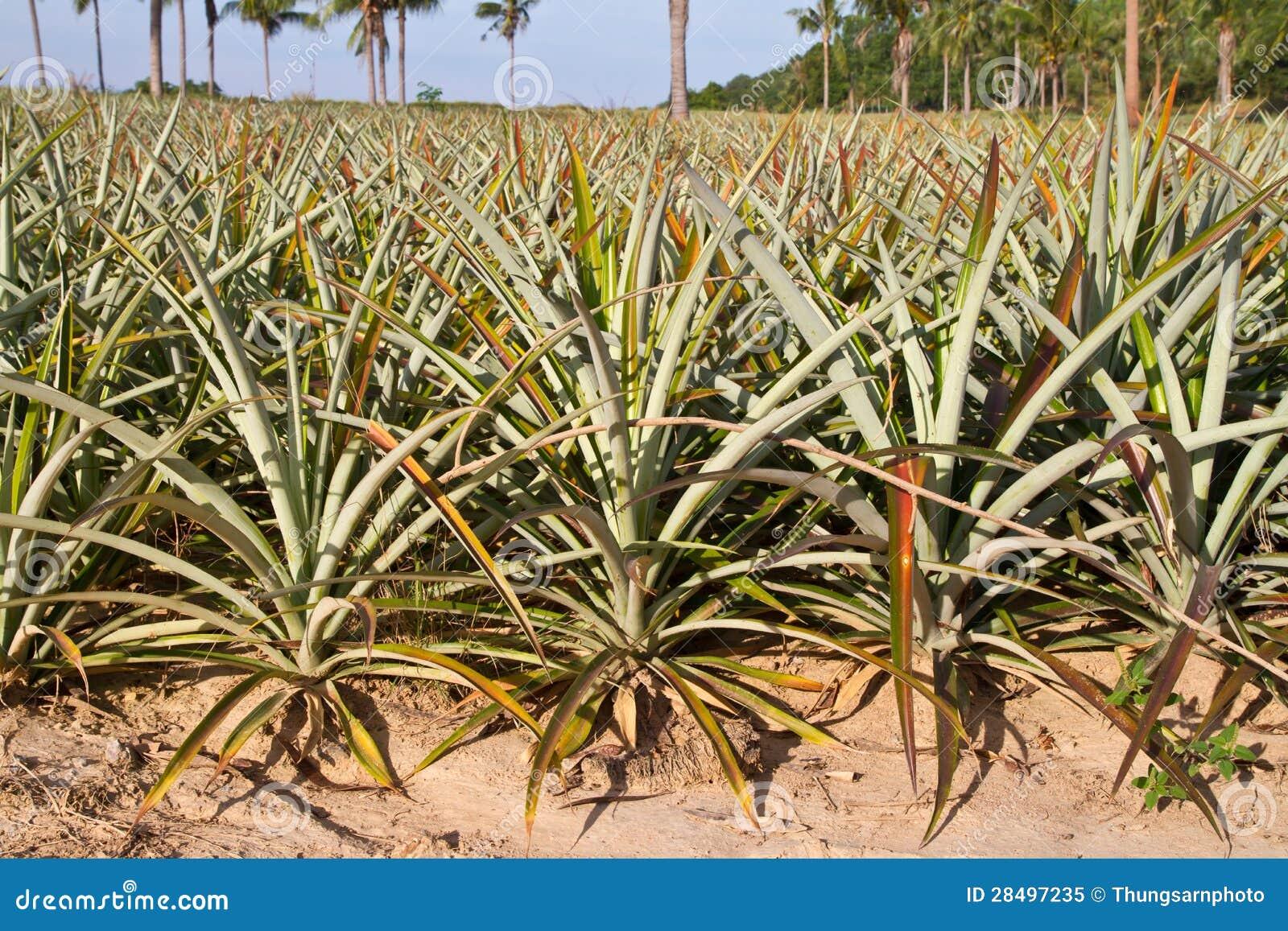 Ananasv xt royaltyfri foto bild 28497235 - Pianta ananas ...