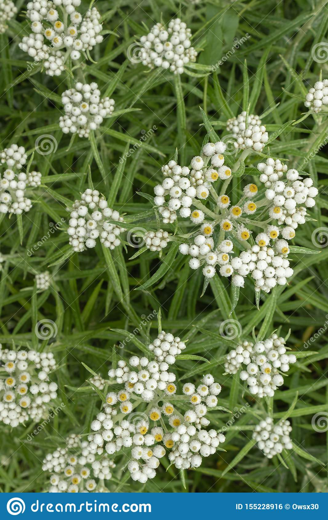 Anaphalis or triplinervis pearly everlasting, lots of white flowers background. close up