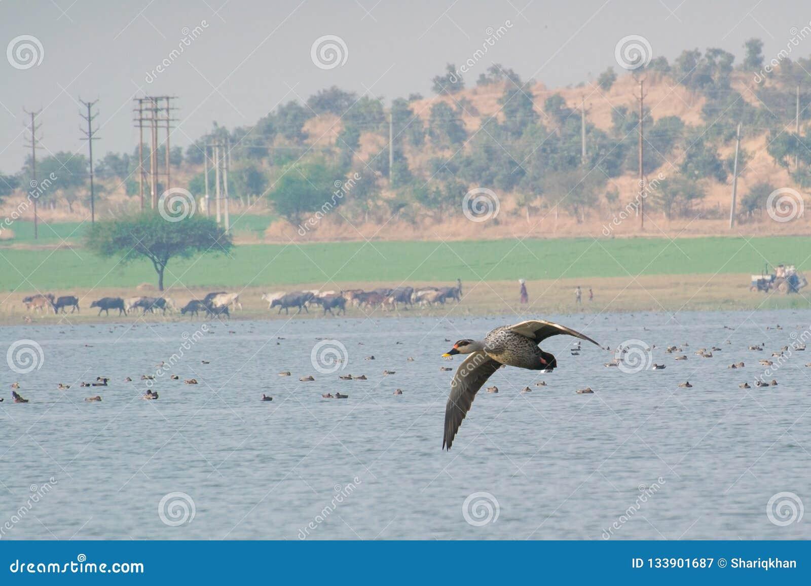 Anas παπιών Spotbilled poecilorhyncha που πετά πέρα από τη λίμνη