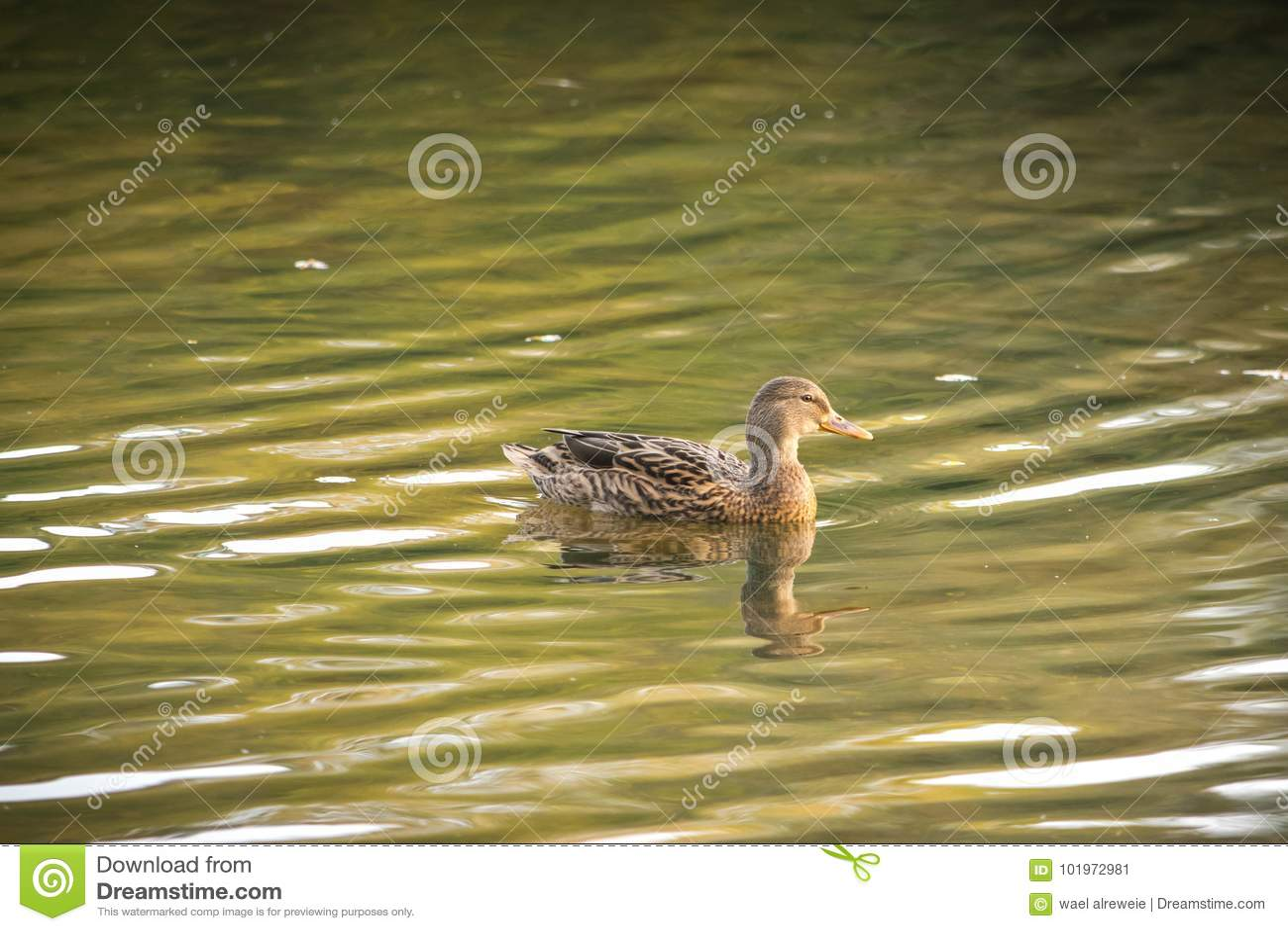 Anas Strepera, θηλυκή πάπια φλυαρόπαπιων που κολυμπούν στο νερό λιμνών των λιμνών Ryton, UK