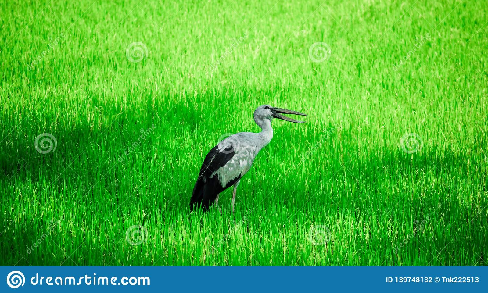 Anastomus oscitans or Asian Openbill local bird walking around the rice fields and watching for food, shell food.