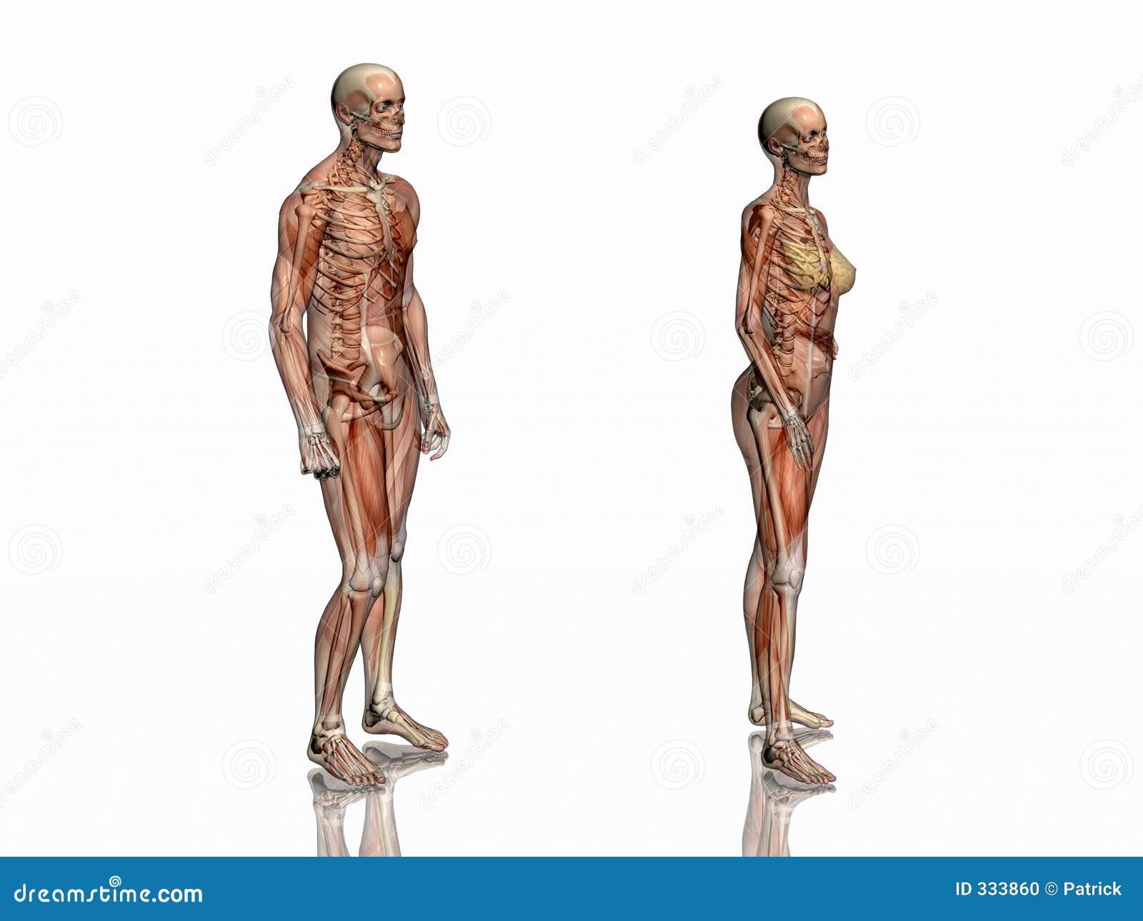 Lujoso Esqueleto Femenino Humano Ilustracin Anatoma de Las