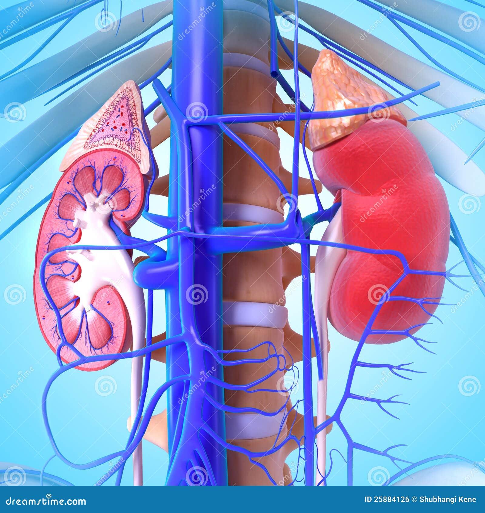 Anatomía 3d del riñón stock de ilustración. Ilustración de ...