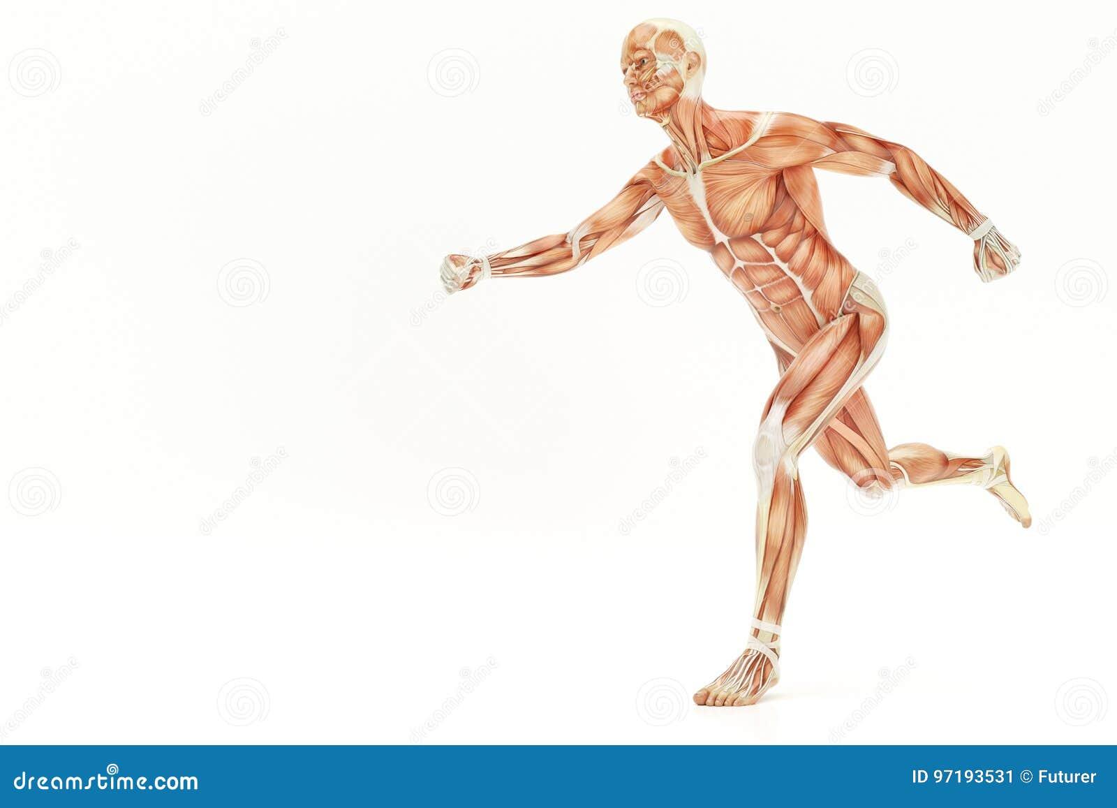 Anatomía De Correr El Cuerpo Humano, Representación De Los Músculos ...