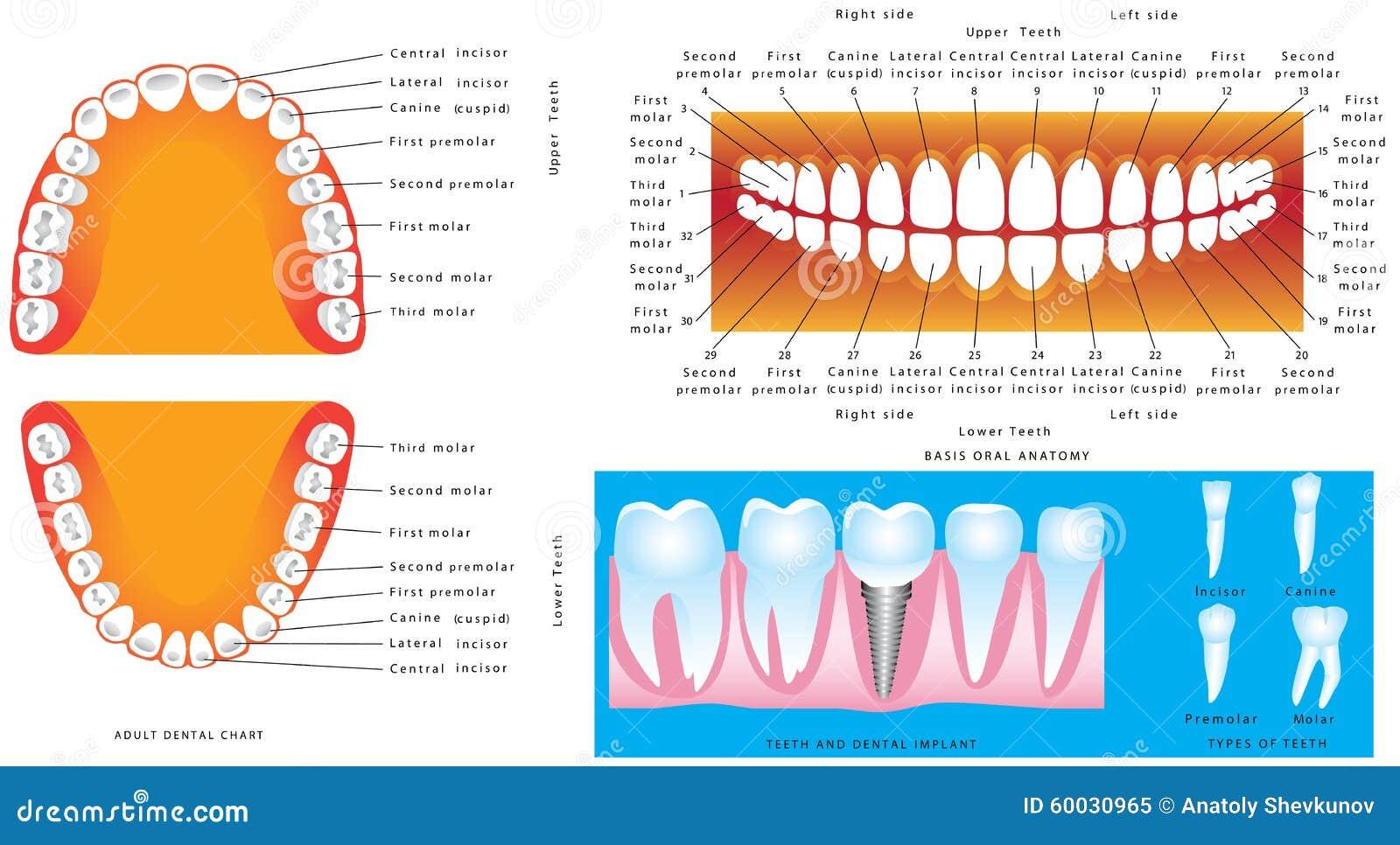 Anatomía de dientes ilustración del vector. Ilustración de cuidado ...