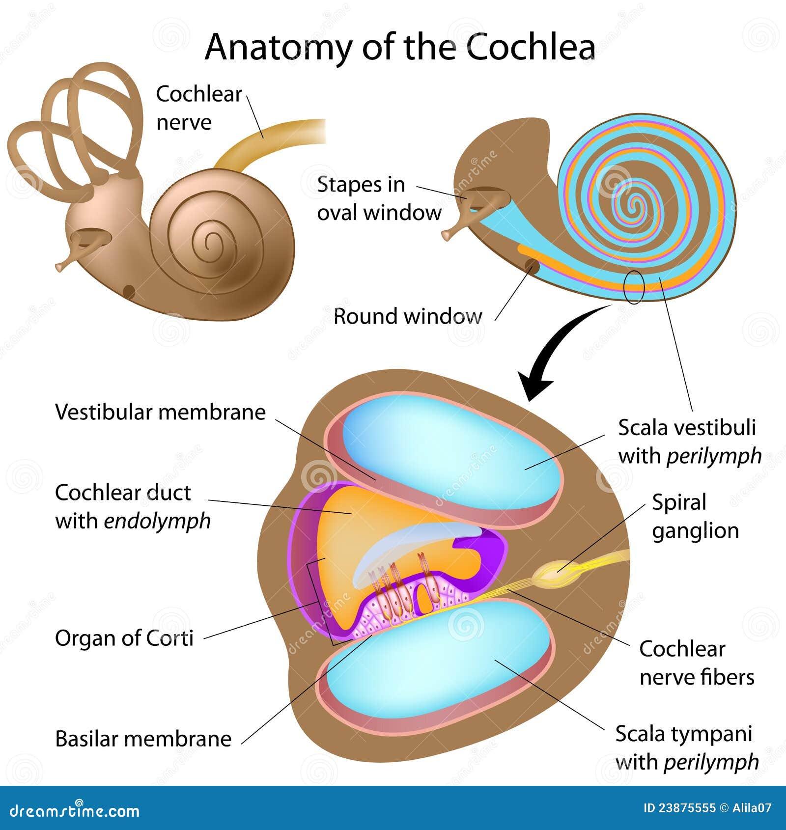 Anatomía de la cóclea ilustración del vector. Ilustración de icono ...