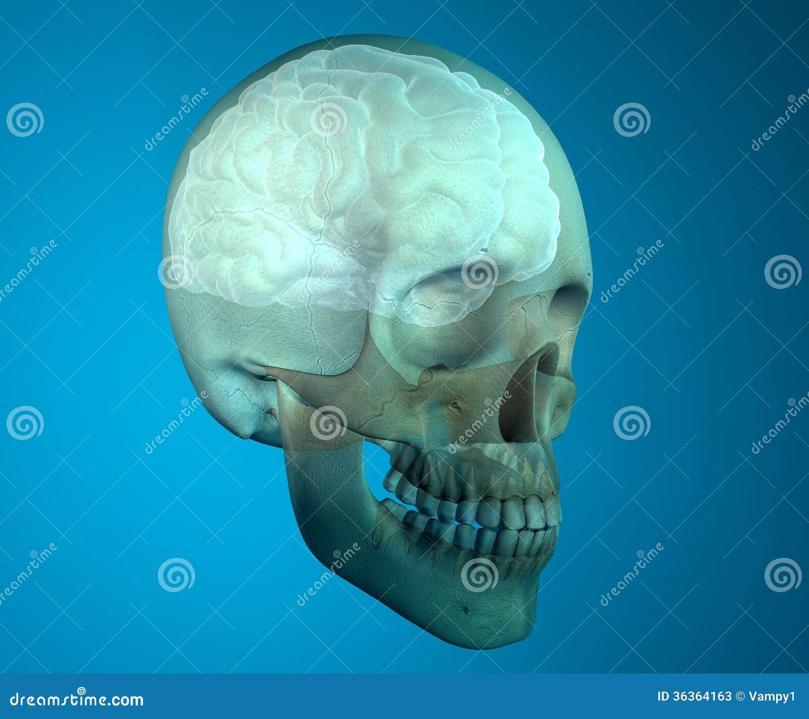 Anatomía De La Cabeza De La Radiografía Del Cráneo Del Cerebro Stock ...