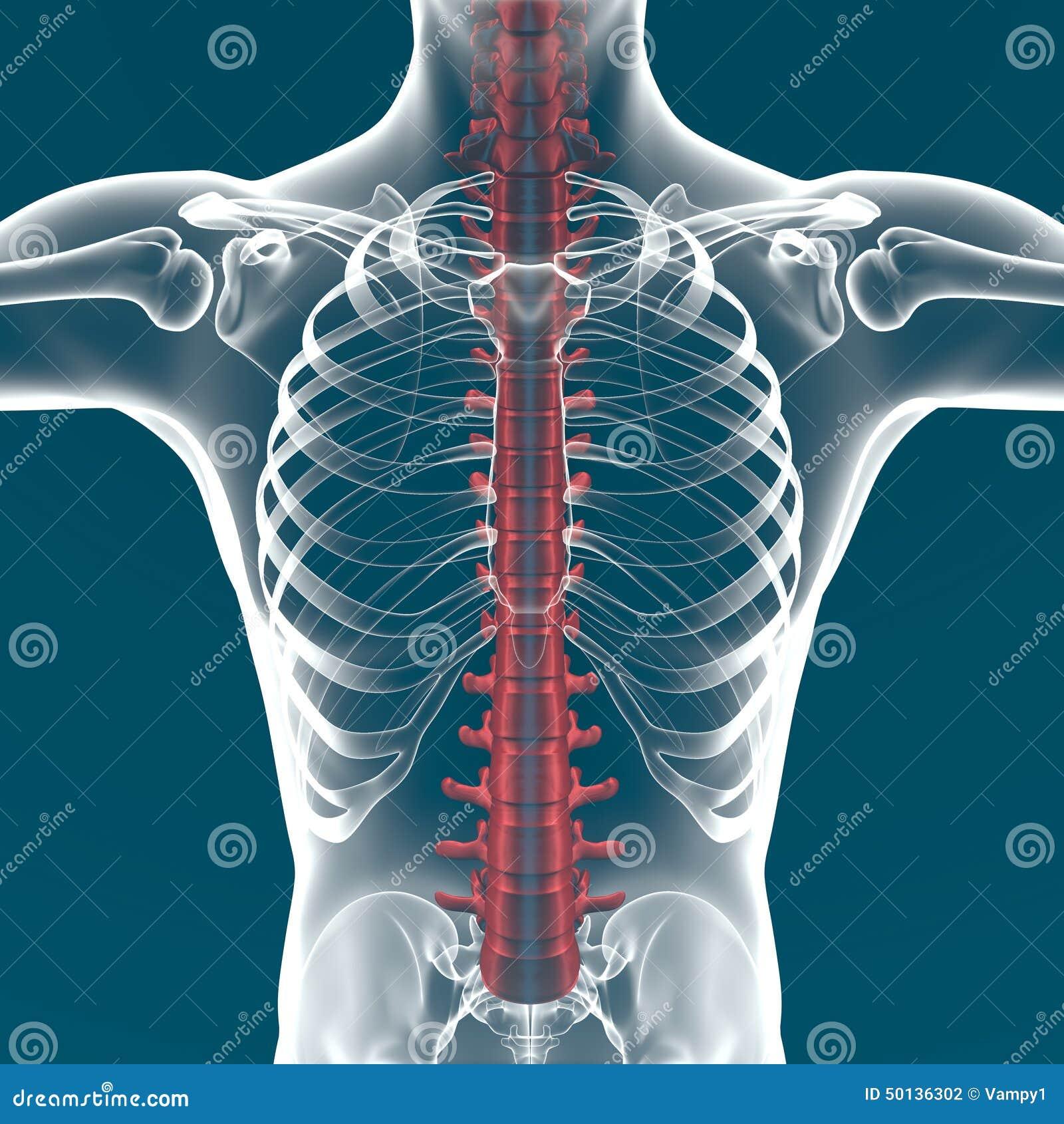 Anatomía De La Espina Dorsal Del Cuerpo Humano Stock de ilustración ...