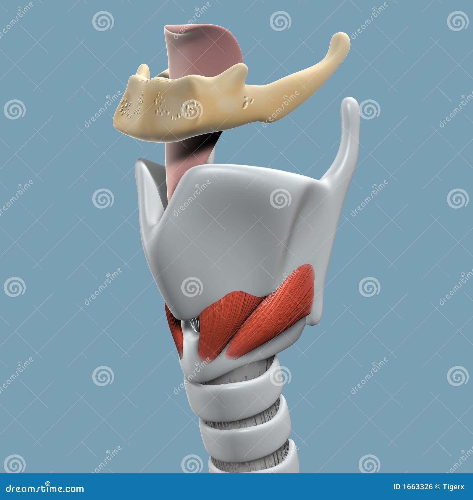 Anatomía de la laringe ilustración del vector. Ilustración de ...