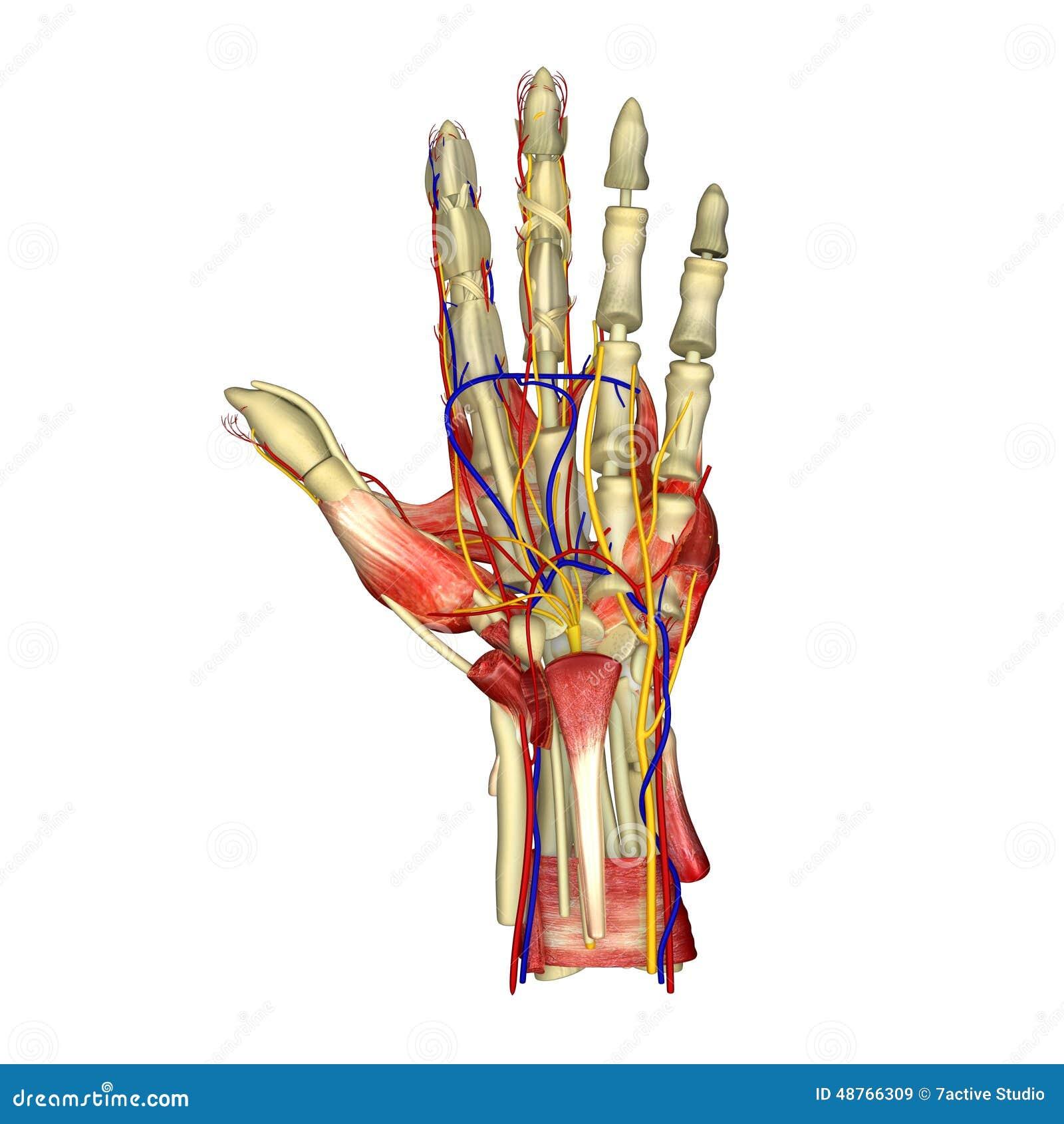 Anatomía de la mano imagen de archivo. Imagen de músculo - 48766309