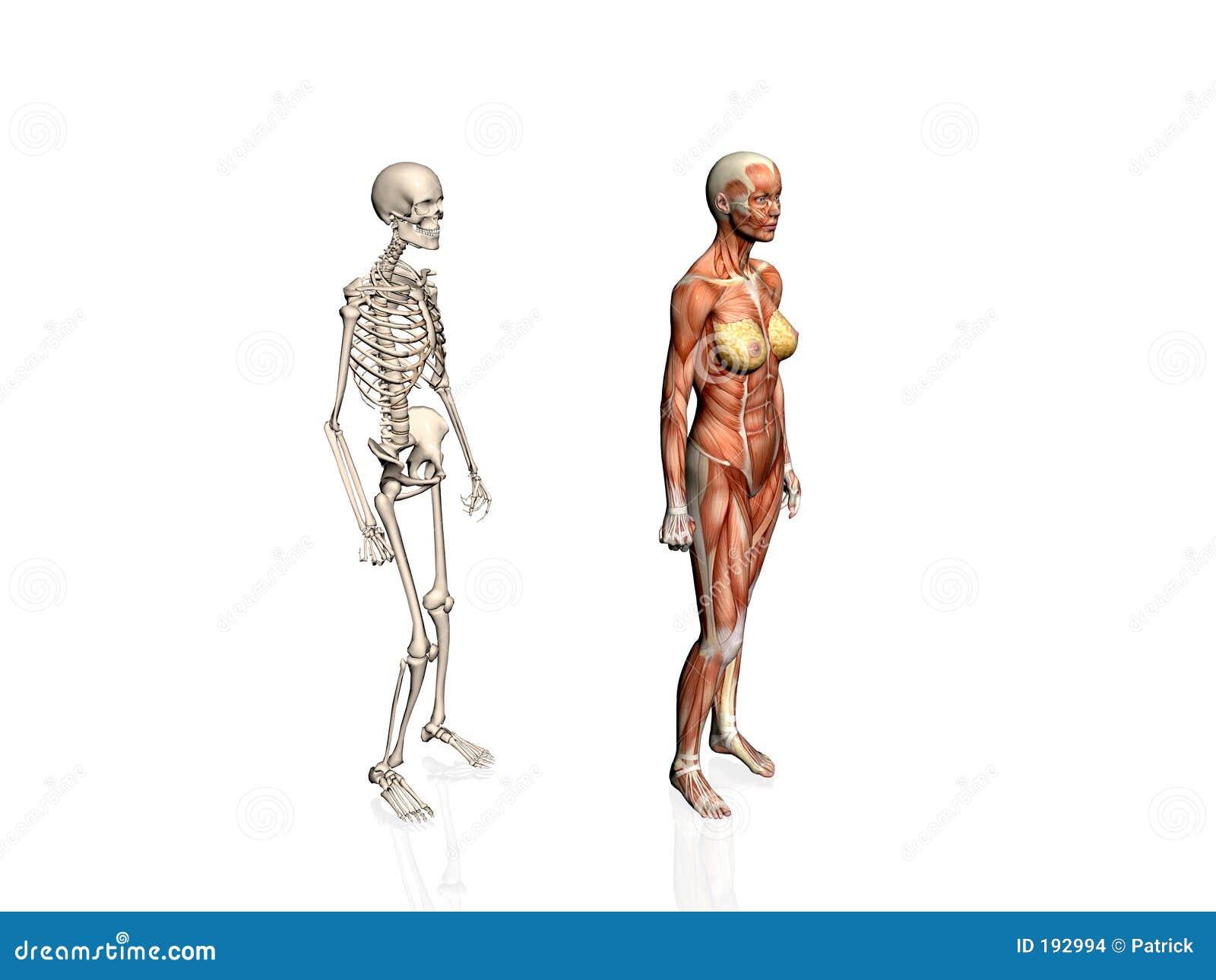Anatomía de la mujer con el esqueleto.