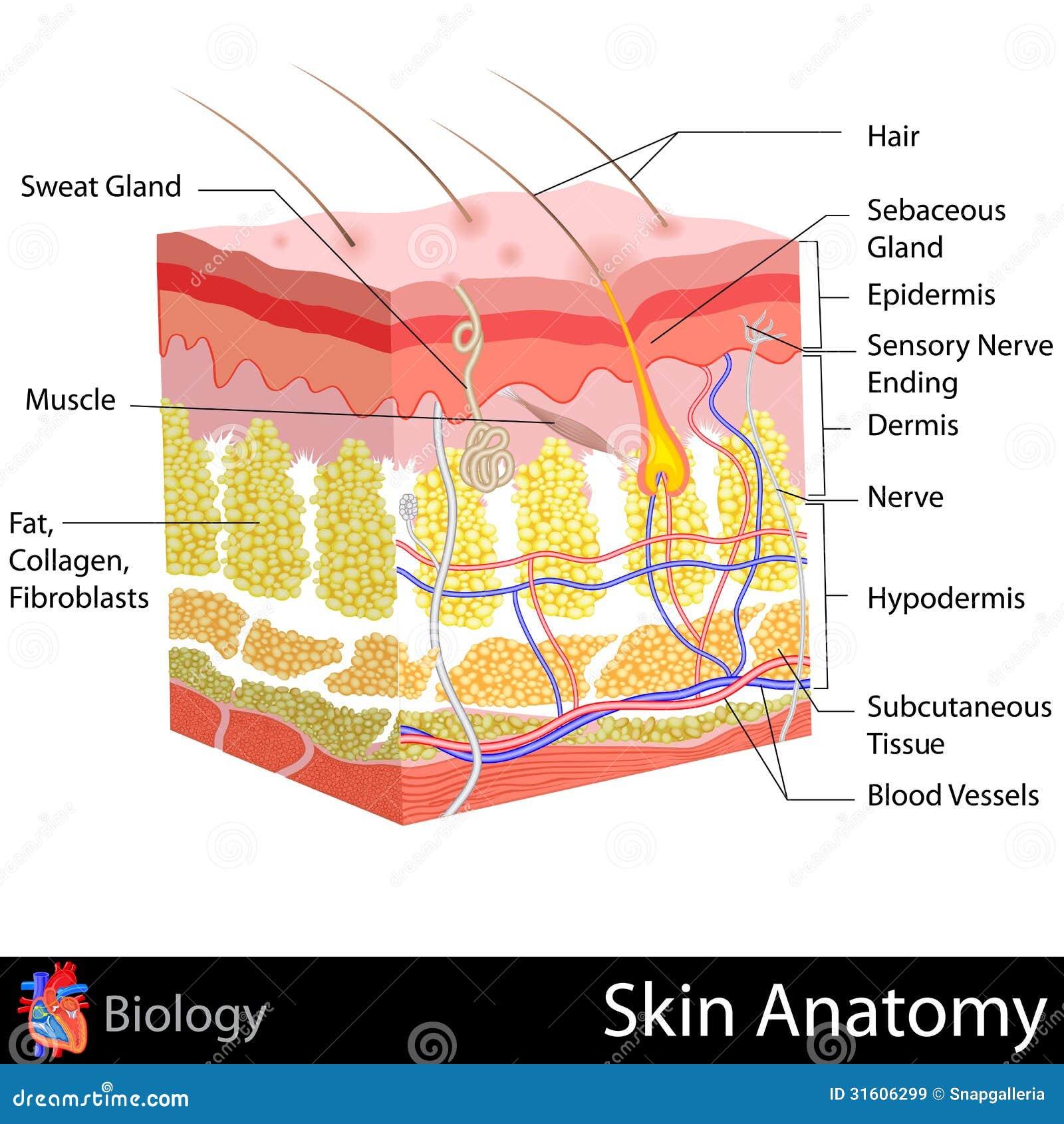 Anatomía de la piel stock de ilustración. Ilustración de humano ...