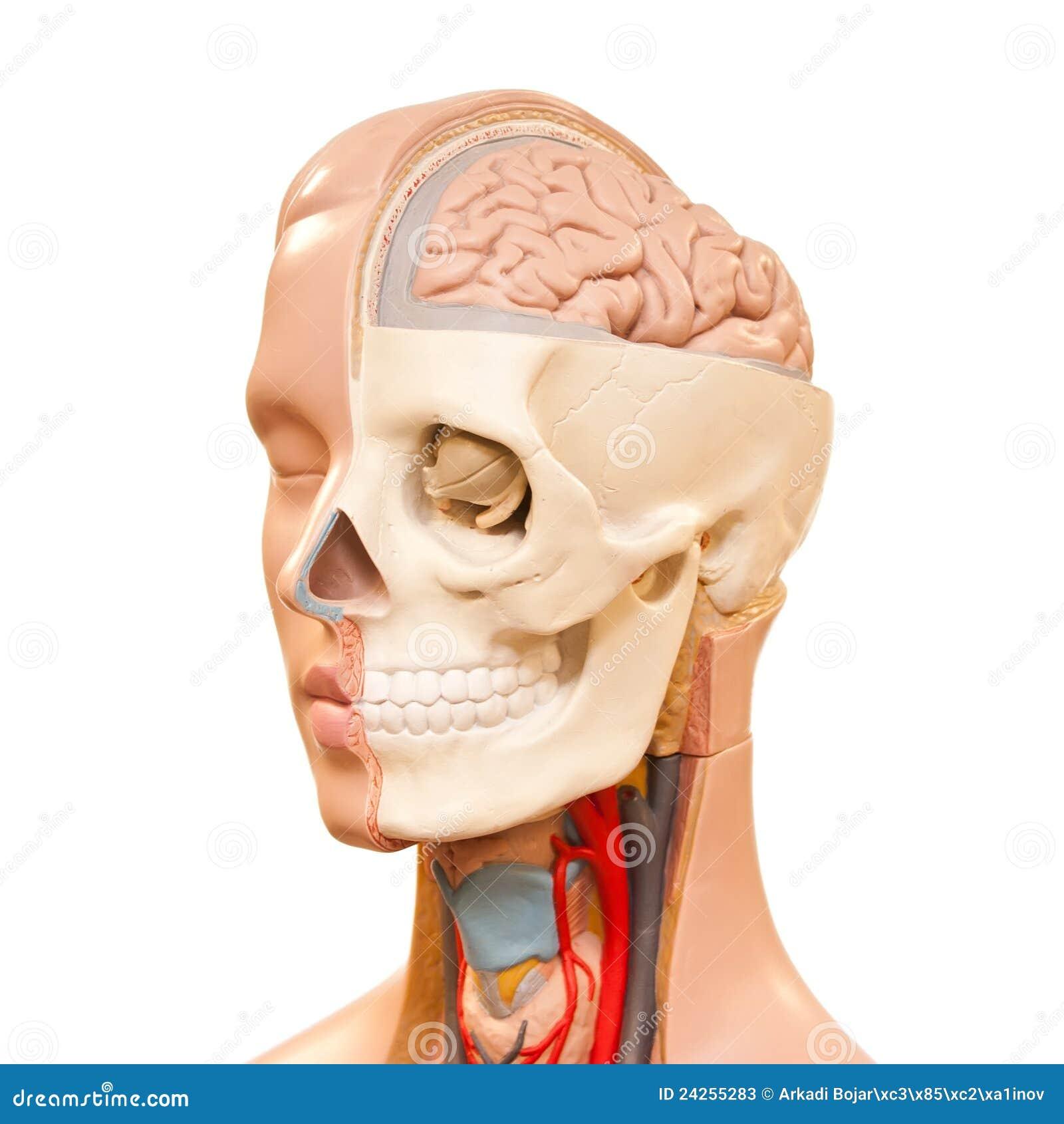 Anatomía de la pista humana