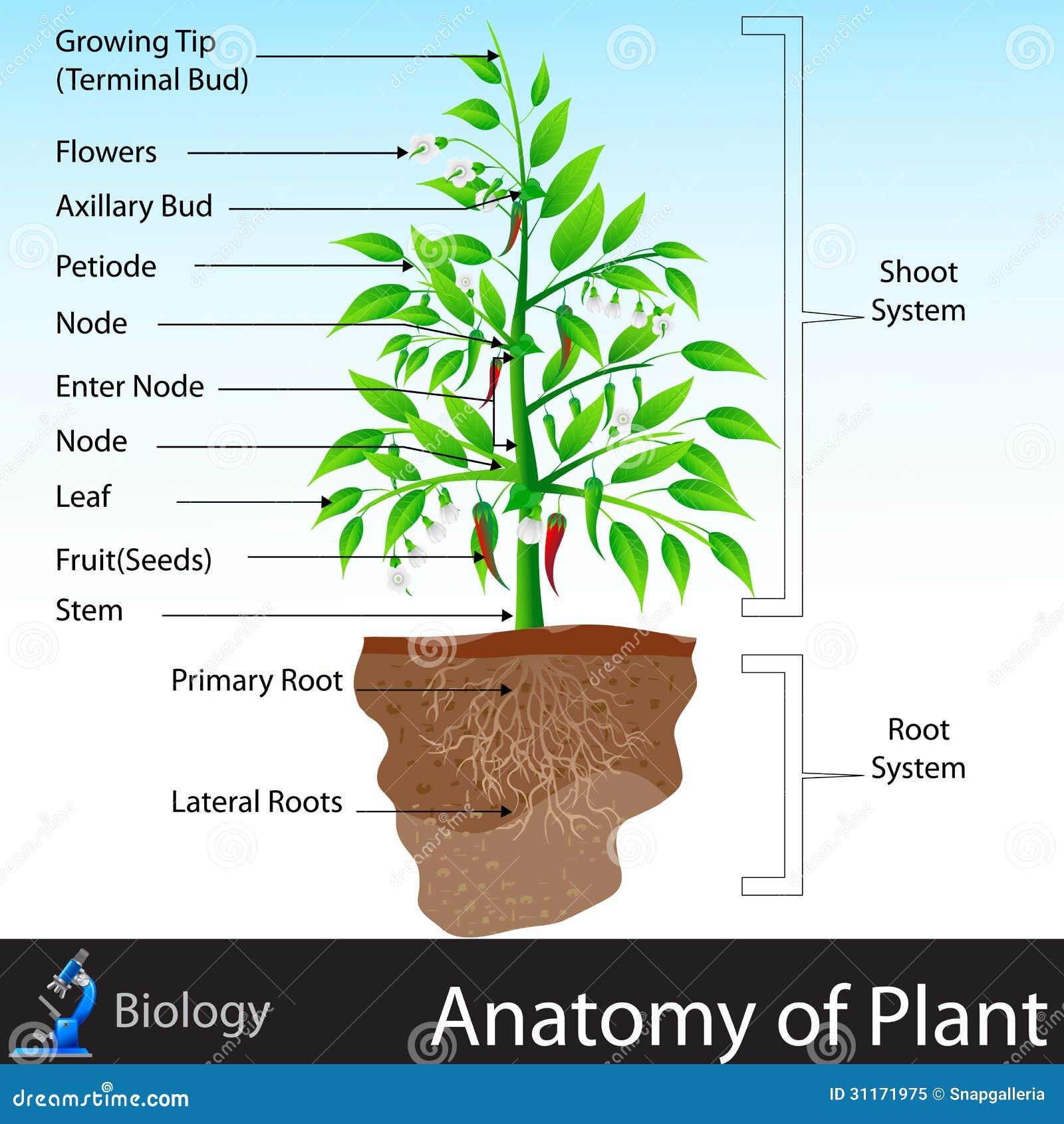Anatomía de la planta ilustración del vector. Ilustración de ...