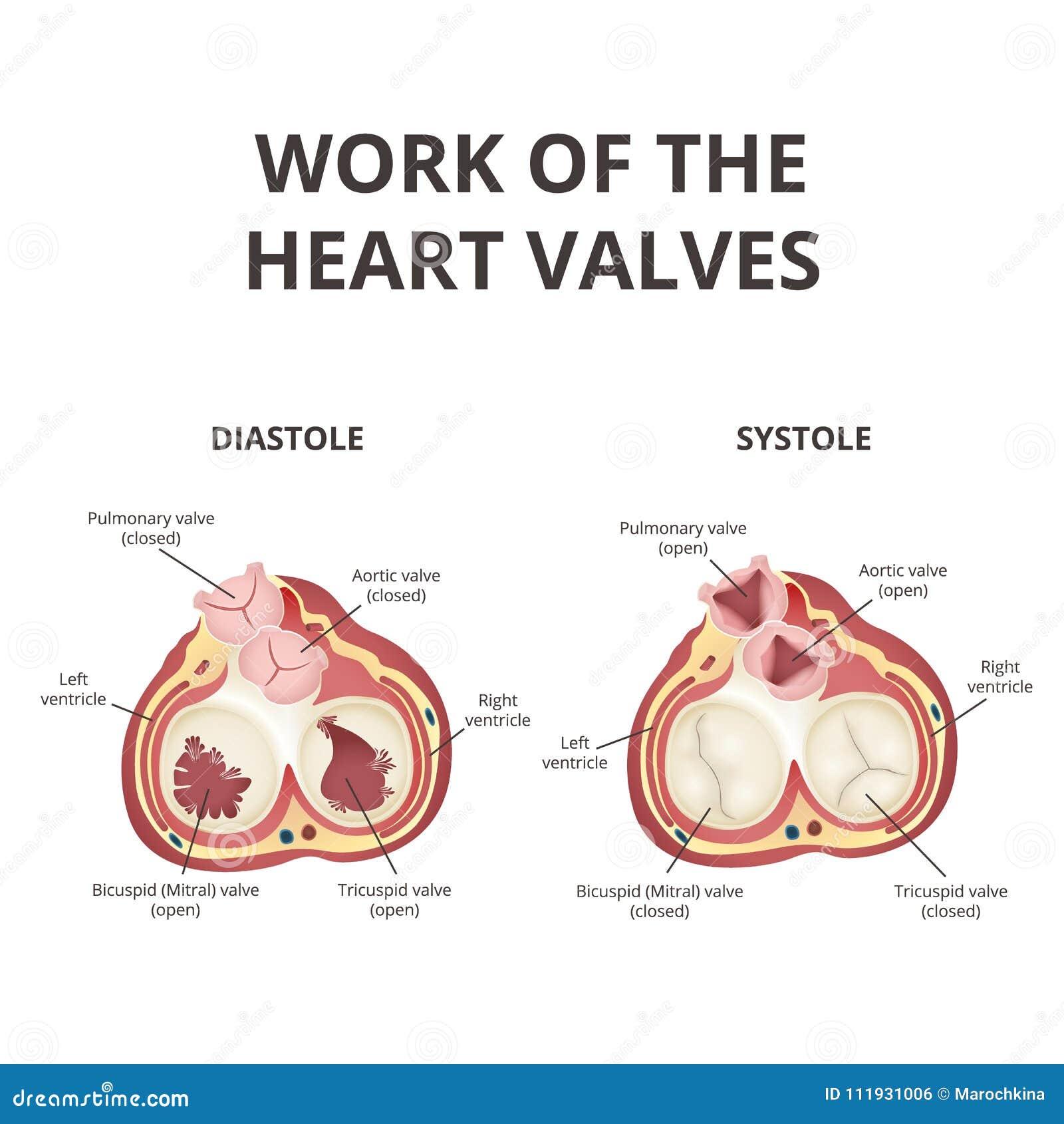 Anatomía De Las Válvulas De Corazón Ilustración del Vector ...