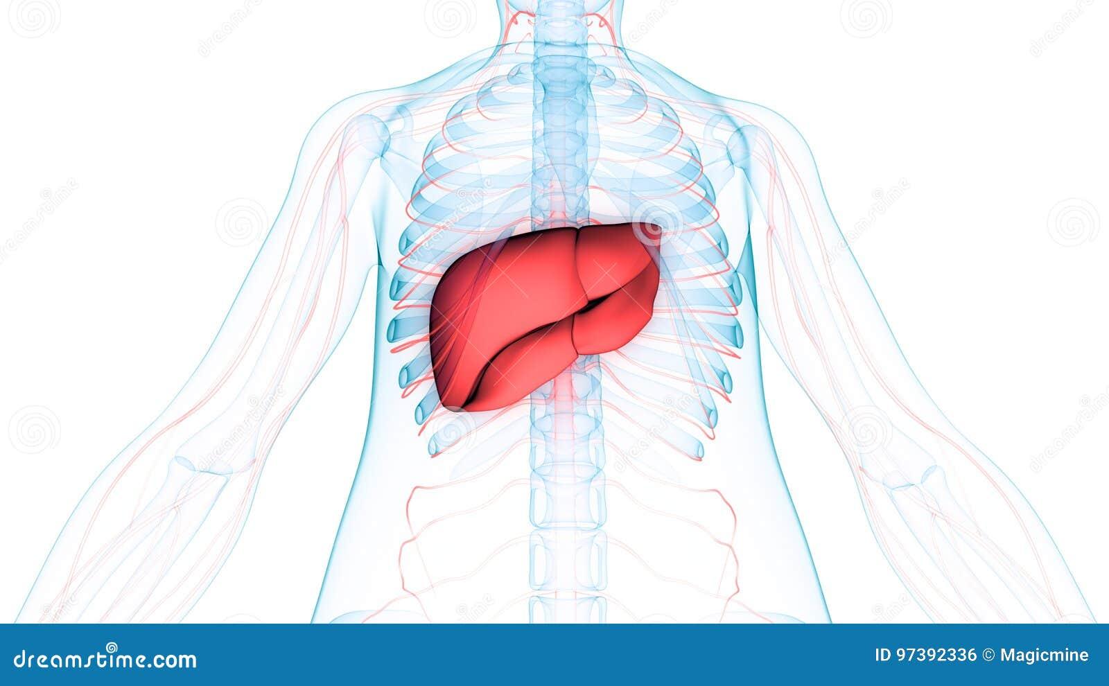 Anatomía De Los órganos Del Cuerpo Humano Y X28; Hígado Con El ...