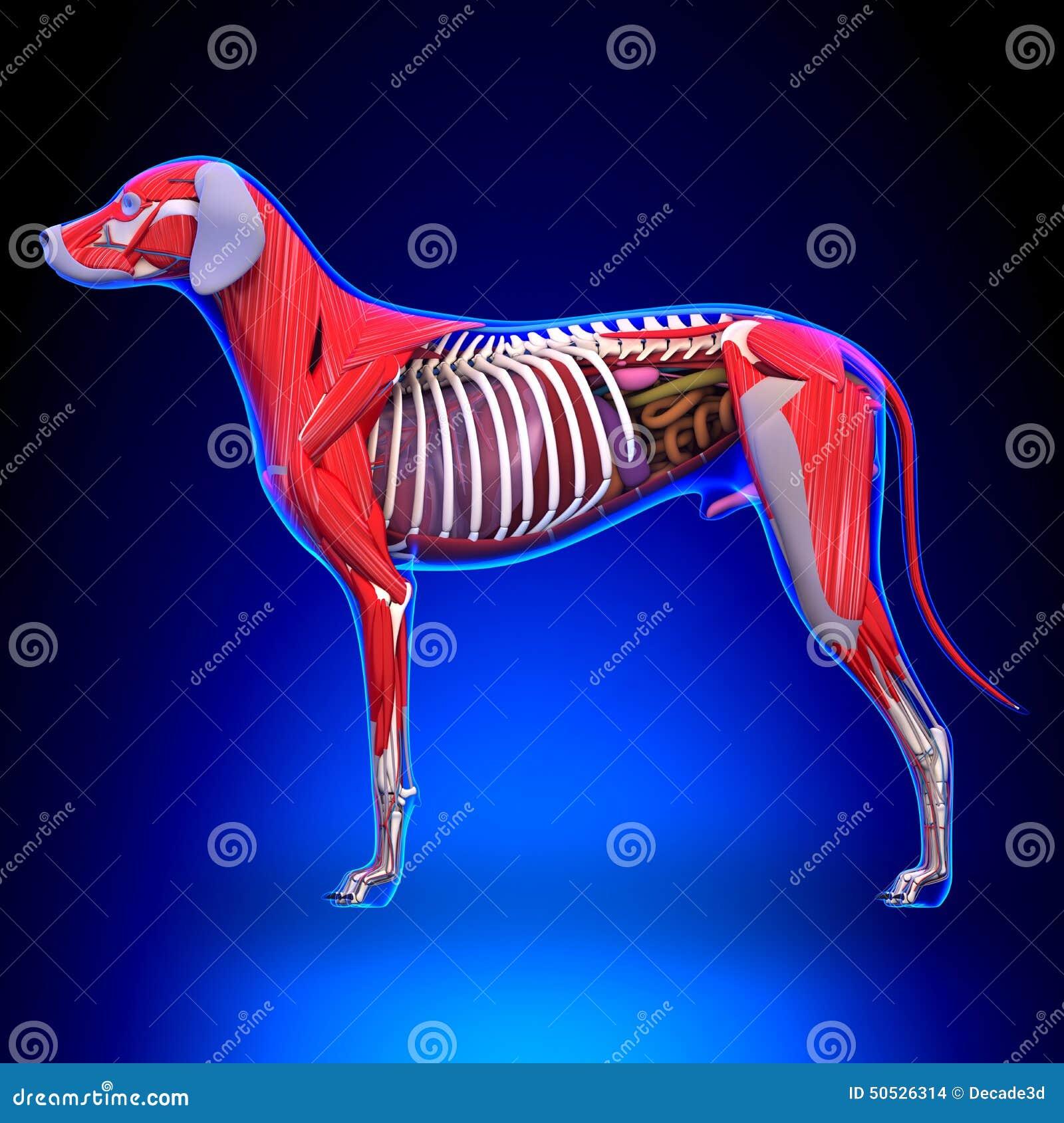 Anatomía De Los órganos Internos Del Perro - Anatomía De Un Perro ...
