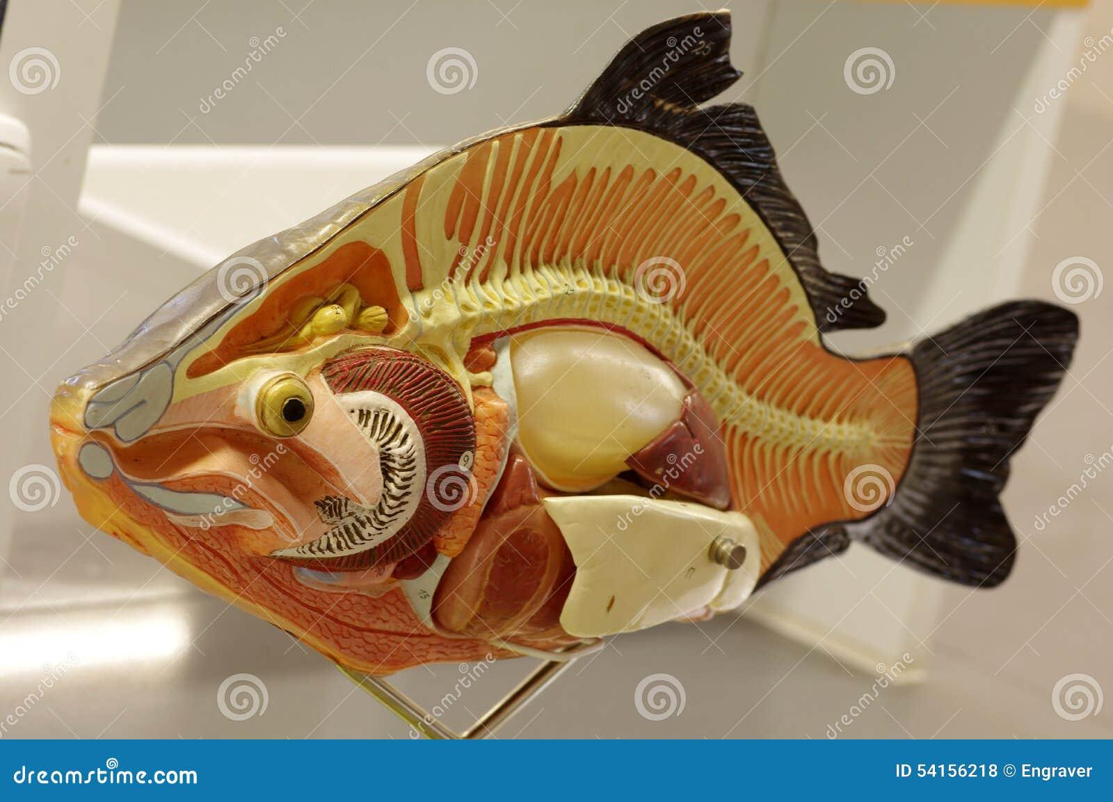 Anatomía De Los Animales De Los Pescados De La Carpa Foto de archivo ...