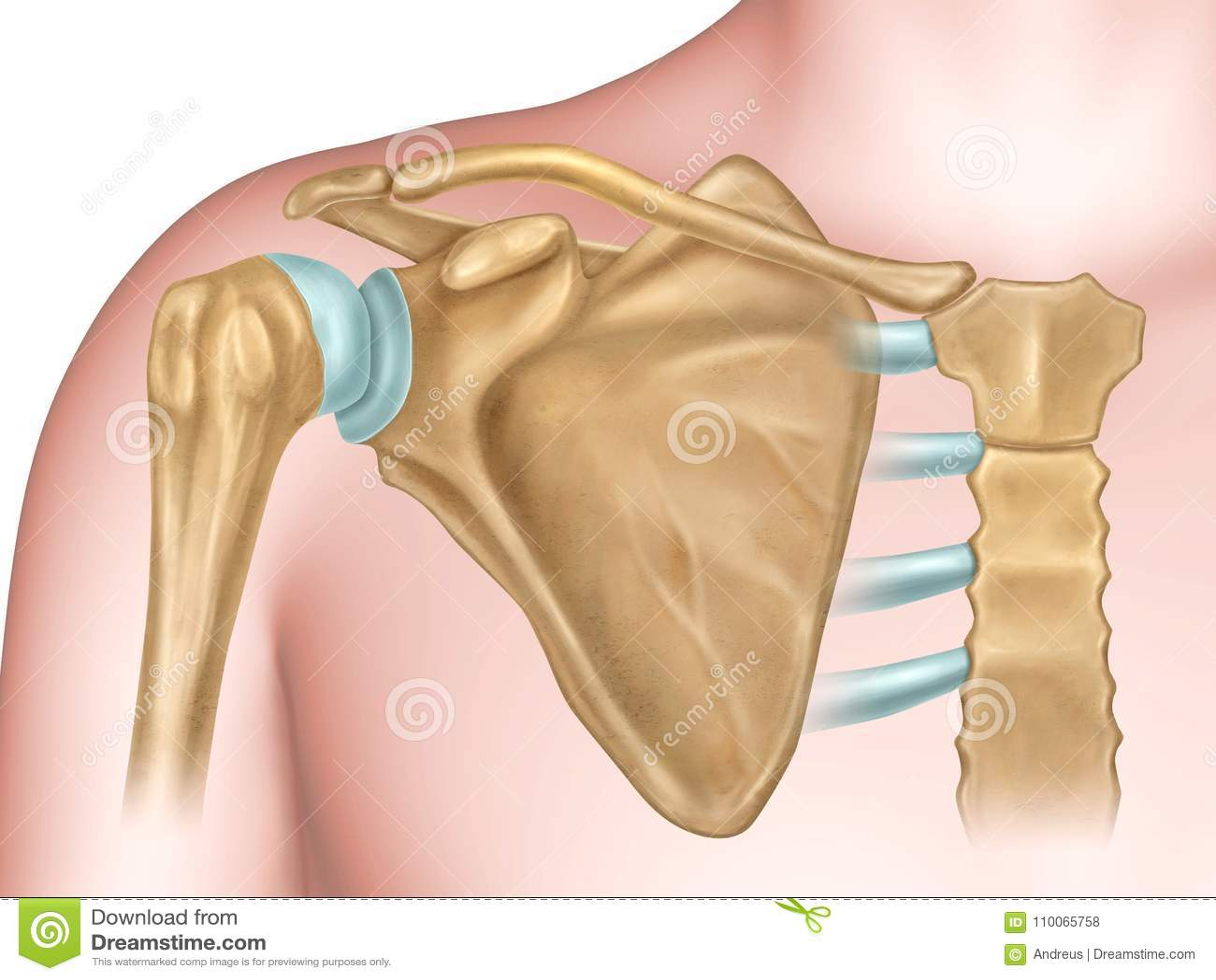 Anatomía De Los Huesos De Hombro Stock de ilustración - Ilustración ...