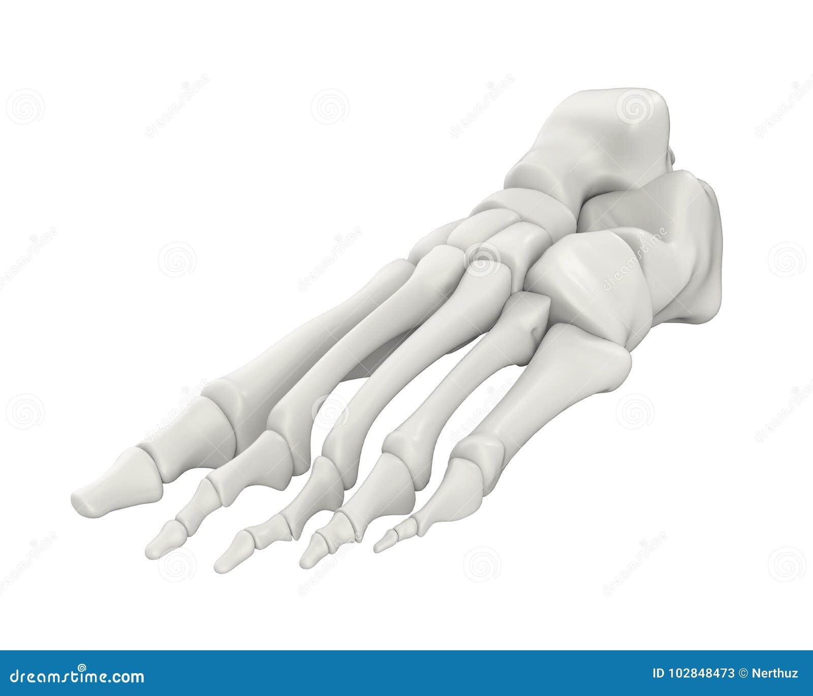 Anatomía De Los Huesos De Pie Aislada Stock de ilustración ...
