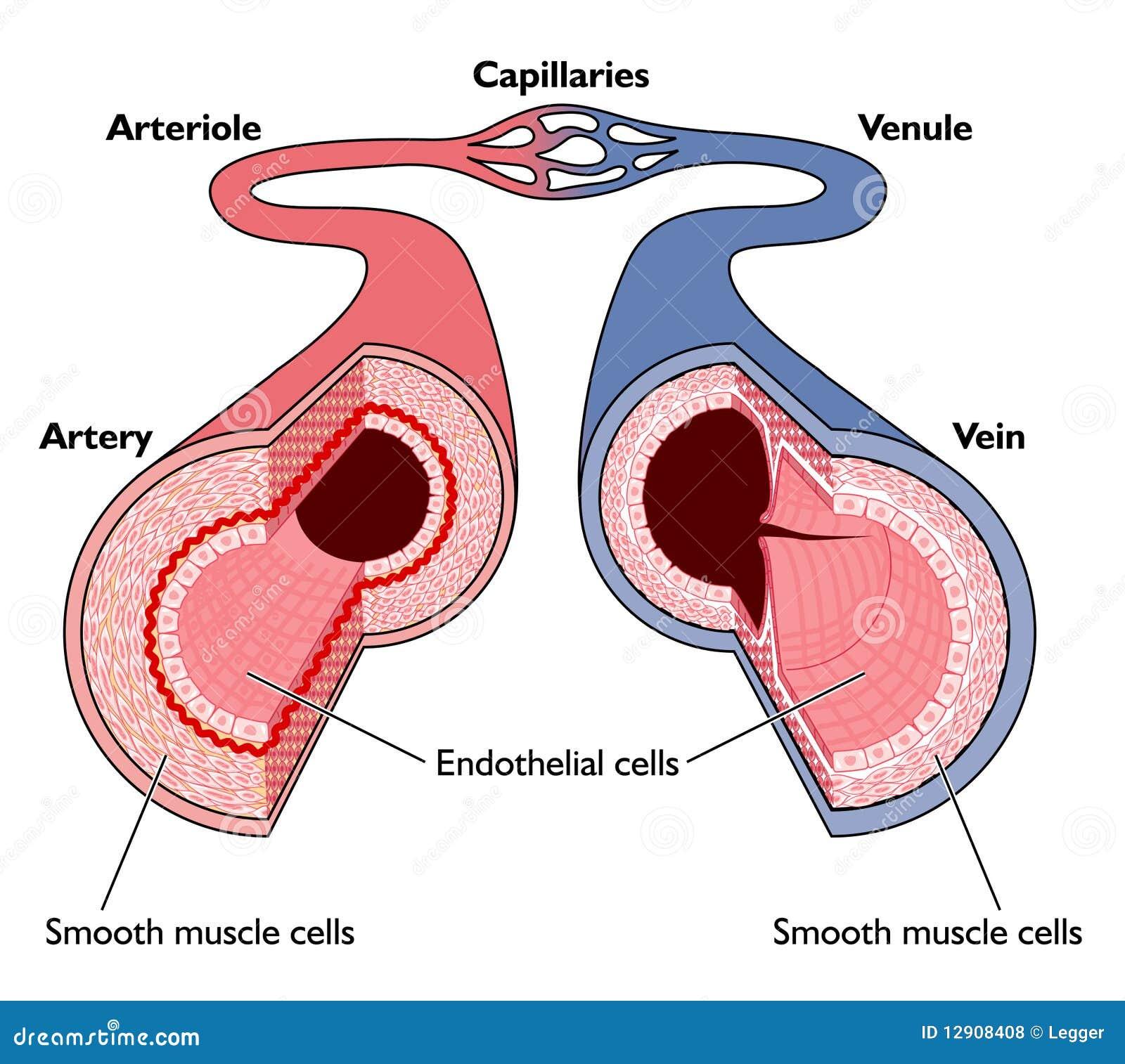 Anatomía de los vasos sanguíneos