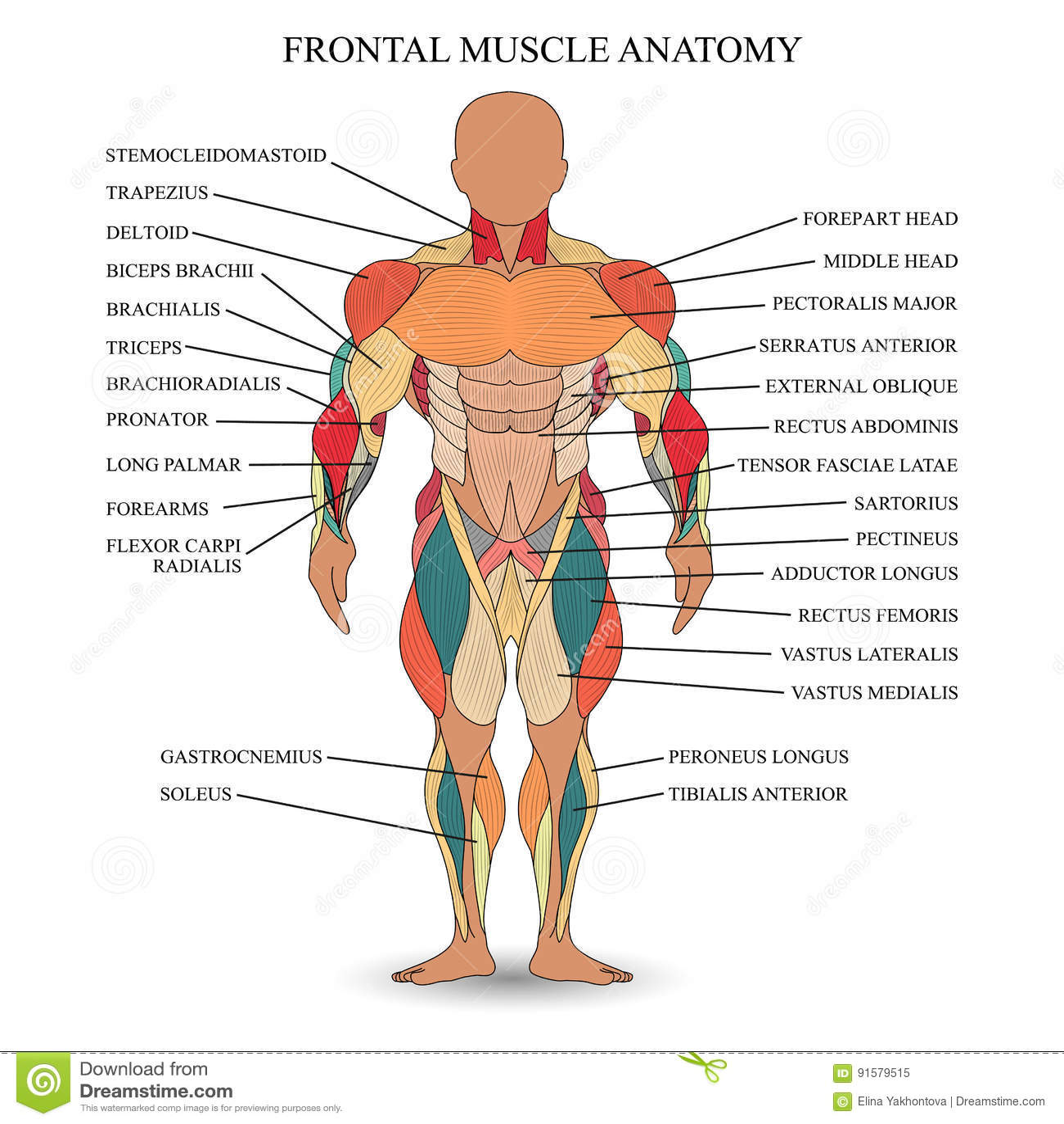Anatomía De Músculos Humanos En El Frente, Una Plantilla Para El ...